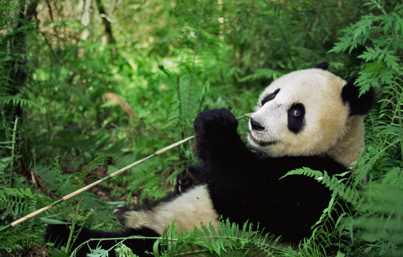Wallpapers bear, China, reserve Wenchuan