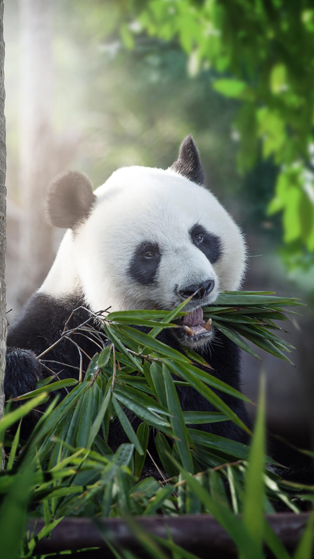 Giant Panda HD Wallpapers for Android