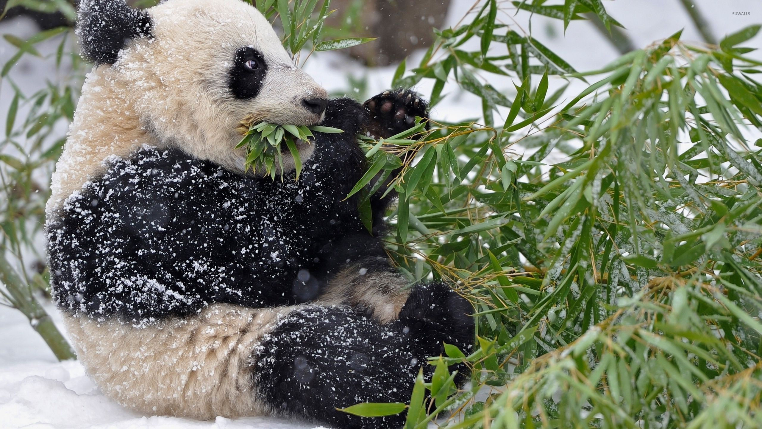 Giant panda covered in snow wallpapers