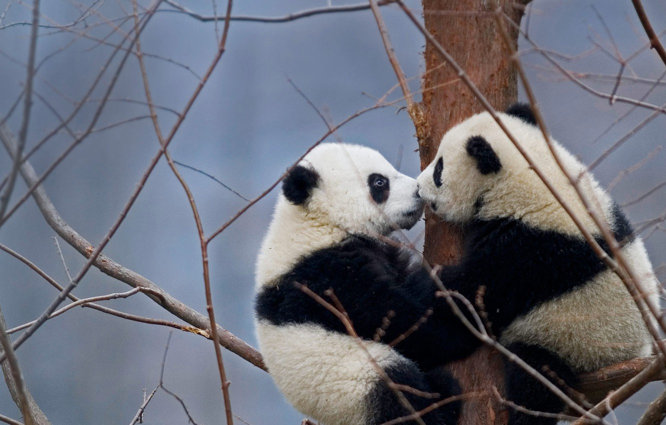 Wallpapers China, bears, reserve, the giant Panda, Wenchuan