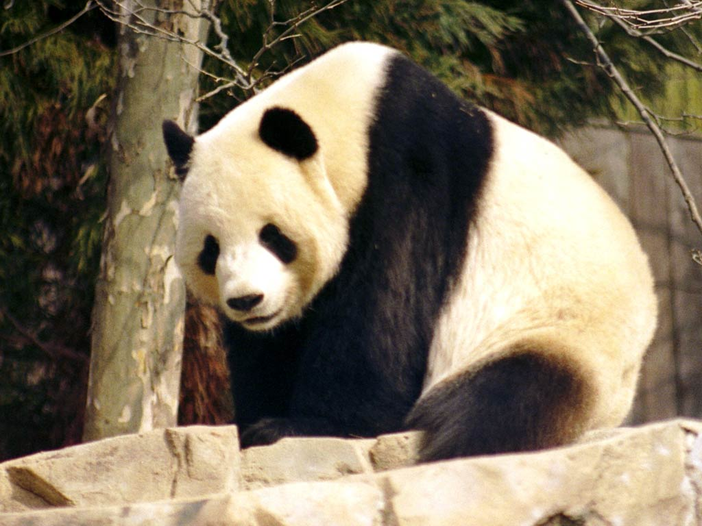 Giant Panda Wallpapers and backgrounds