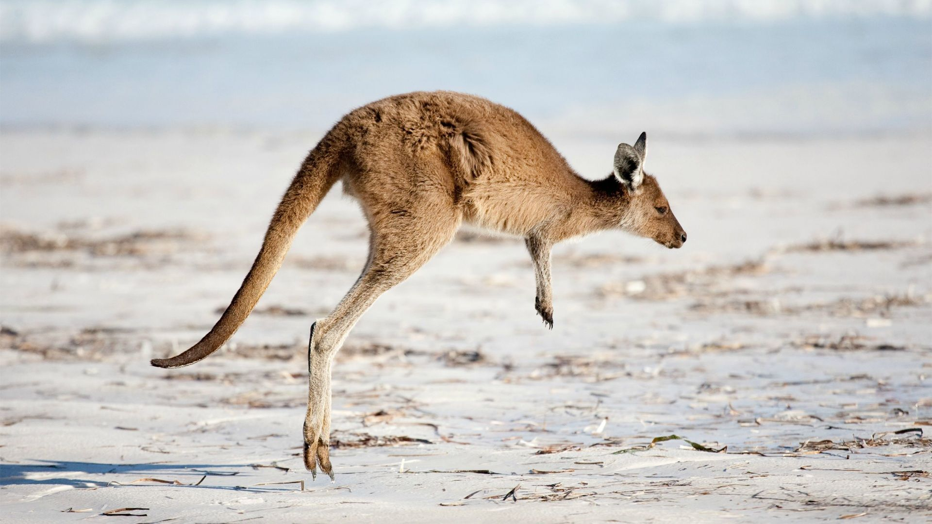 Kangaroo Wallpapers Image Photos Pictures Backgrounds
