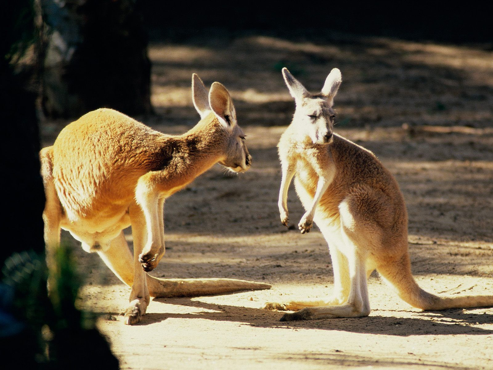 Click here to download in HD Format >> Kangaroo Conversation