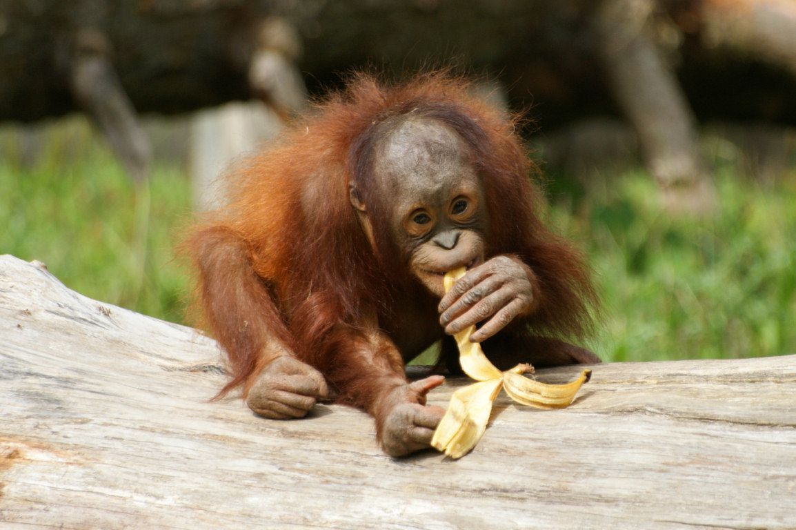 Orangutan Wallpapers Group with 41 items