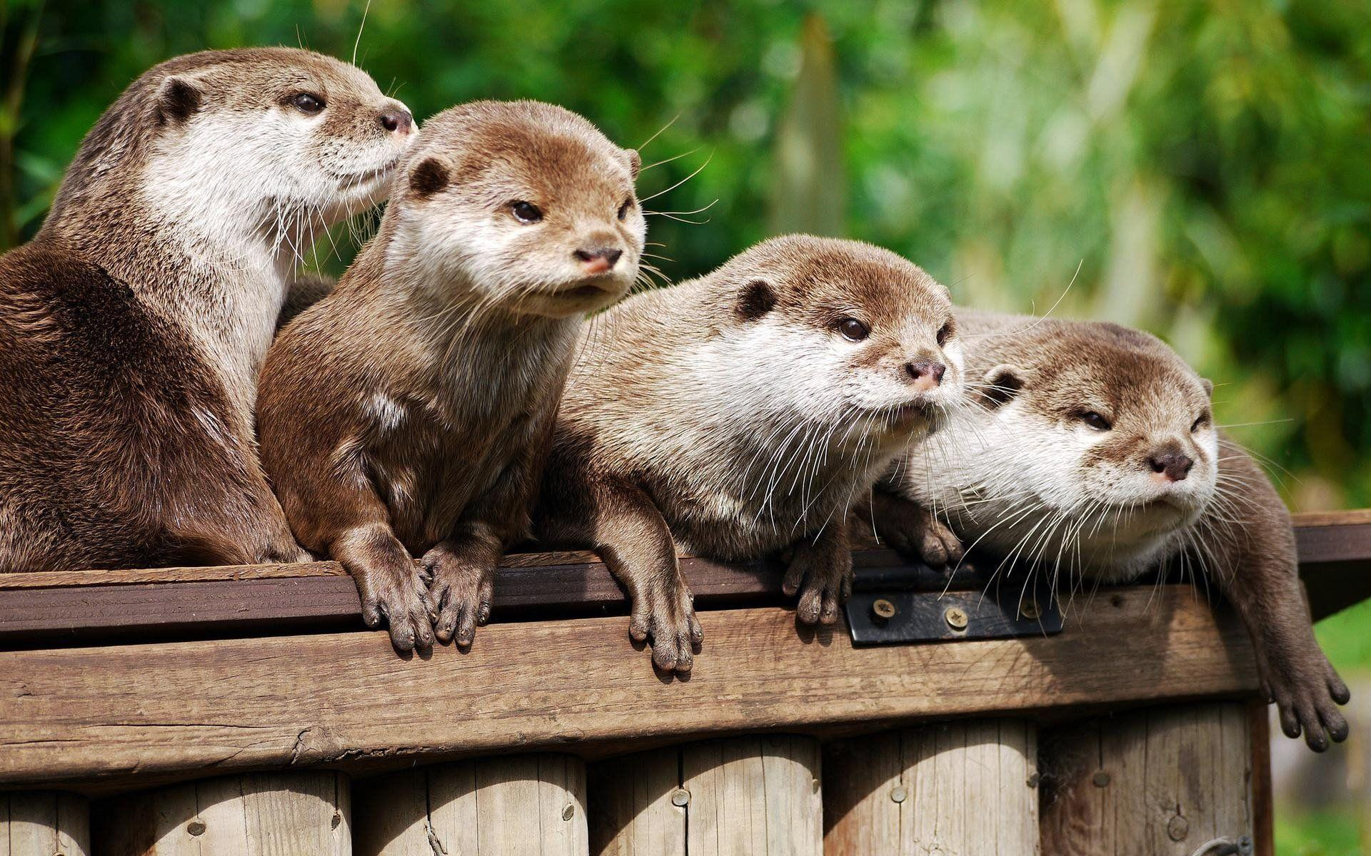 64 Otter HD Wallpapers