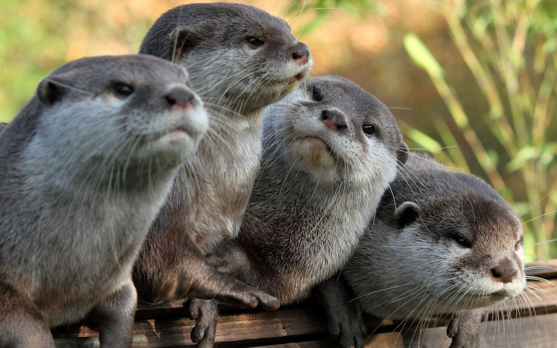 Otter Wallpapers