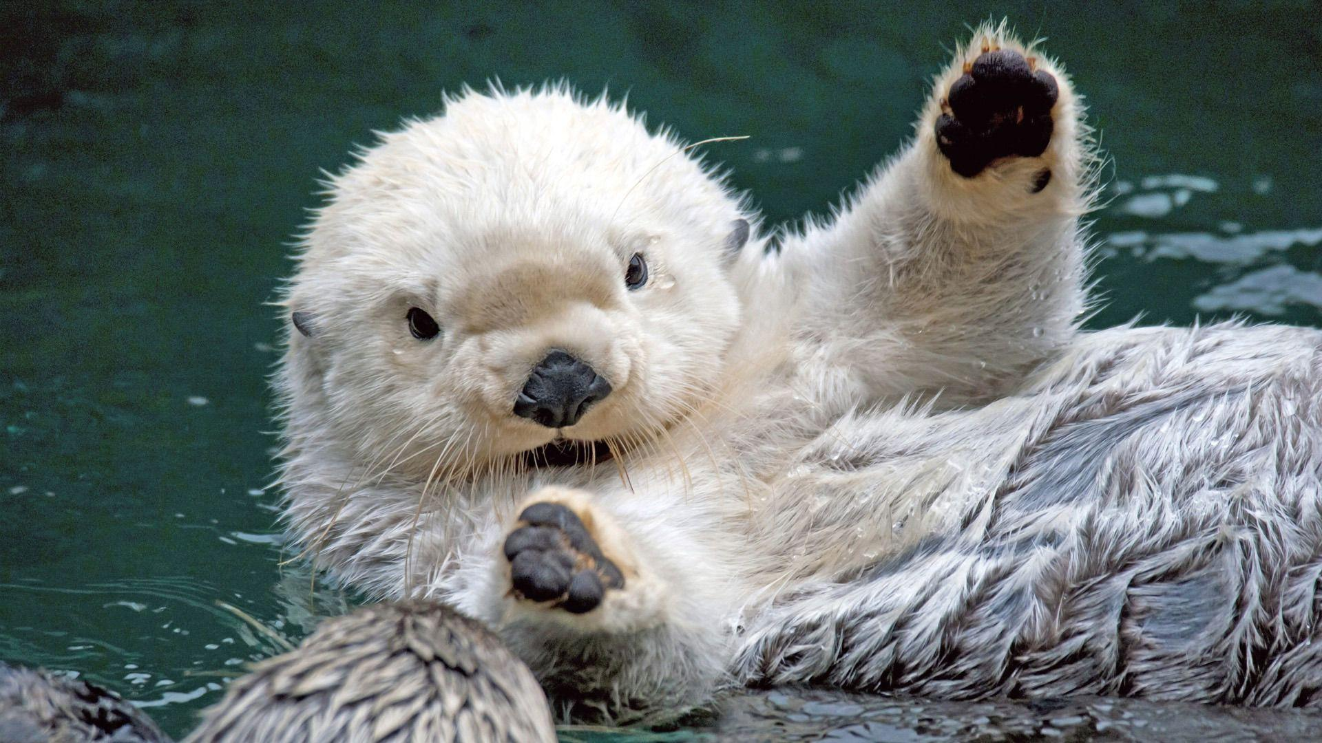 Sea Otter HD Wallpapers
