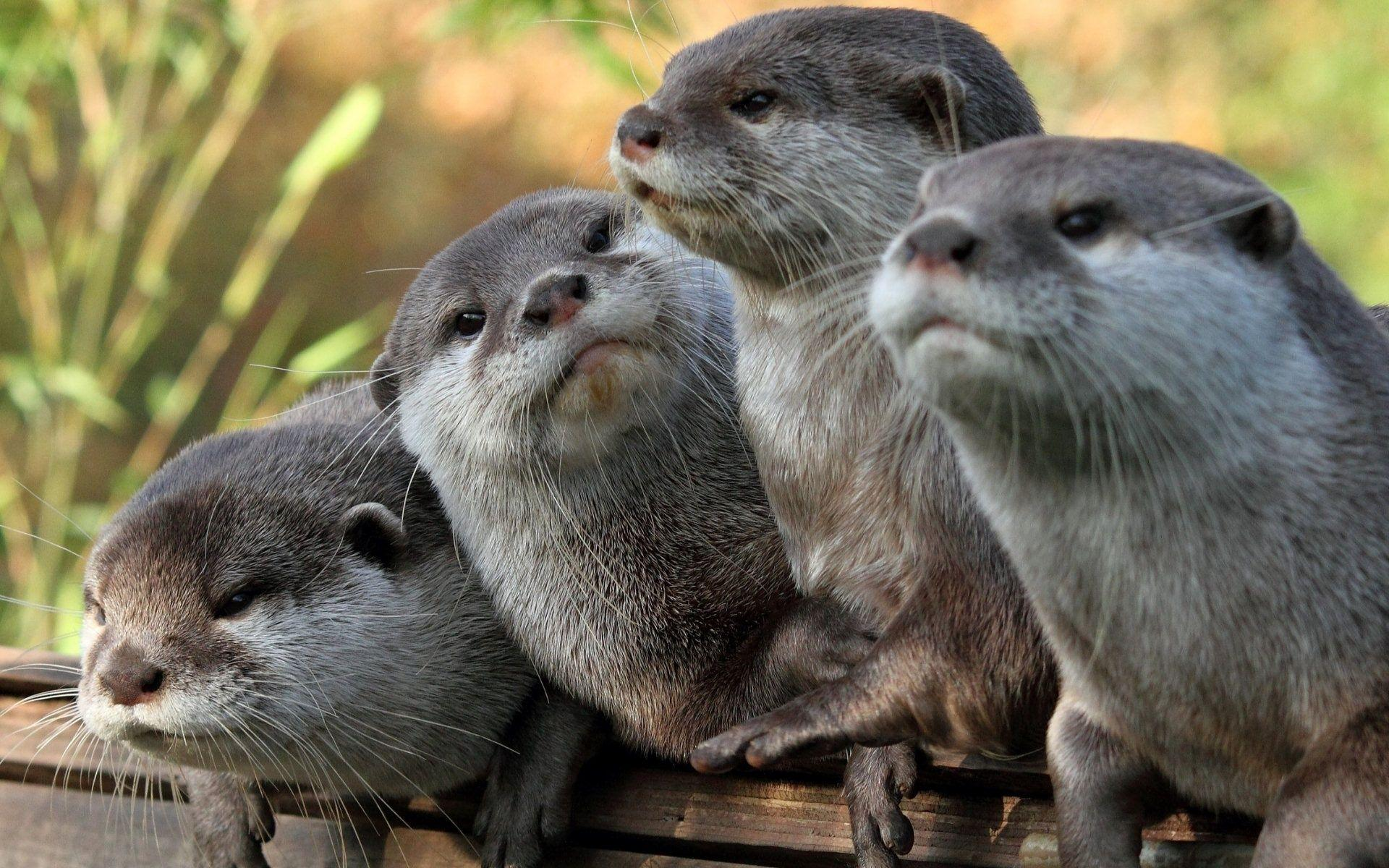 Otter Wallpapers HD 15327 1920x1200