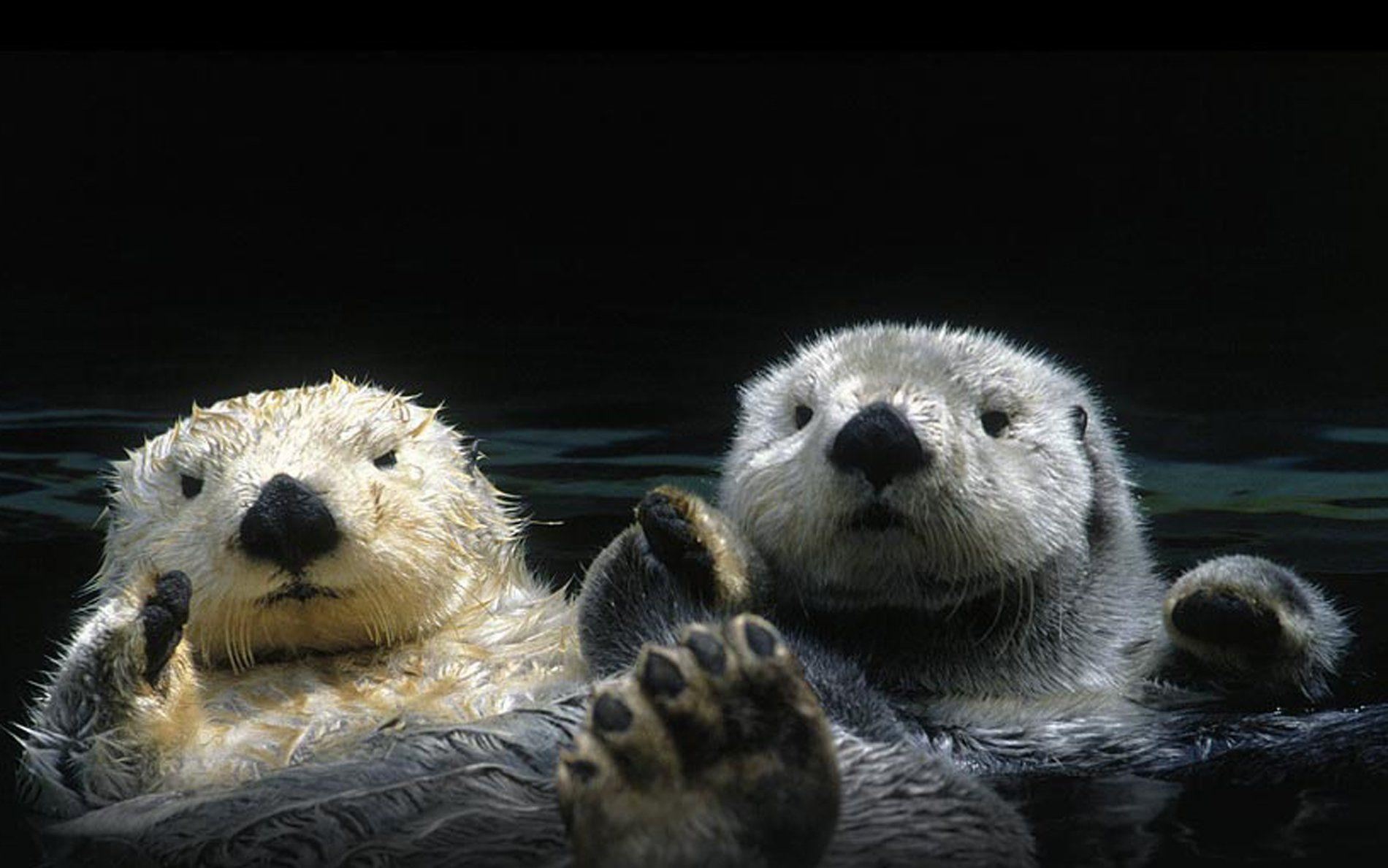 Sea Otter Wallpapers