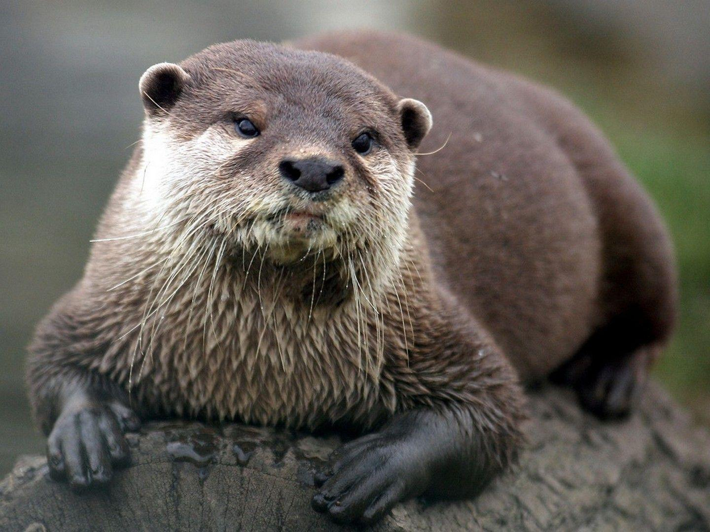 HD otter wallpapers