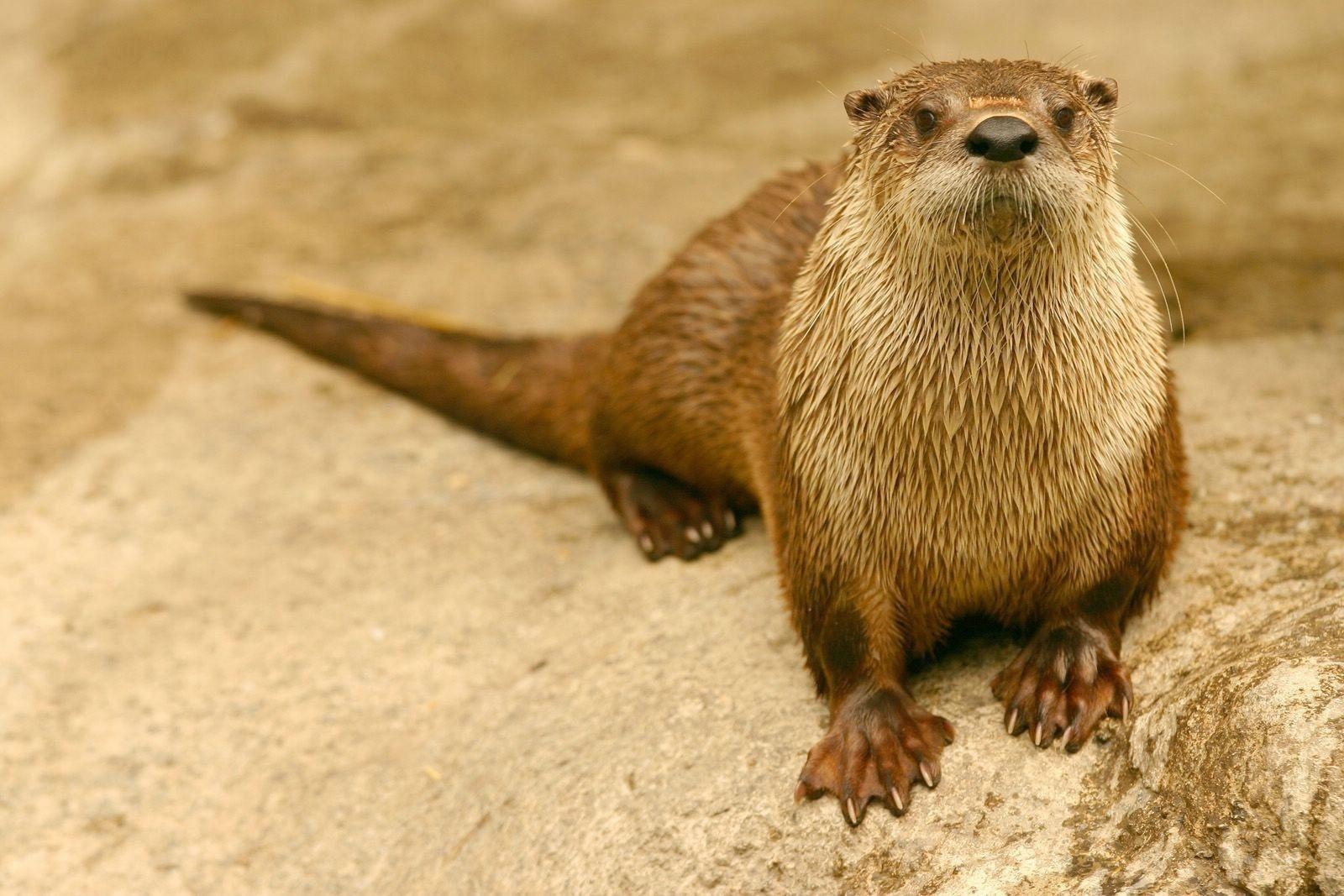 HD Otter Wallpapers and Photos