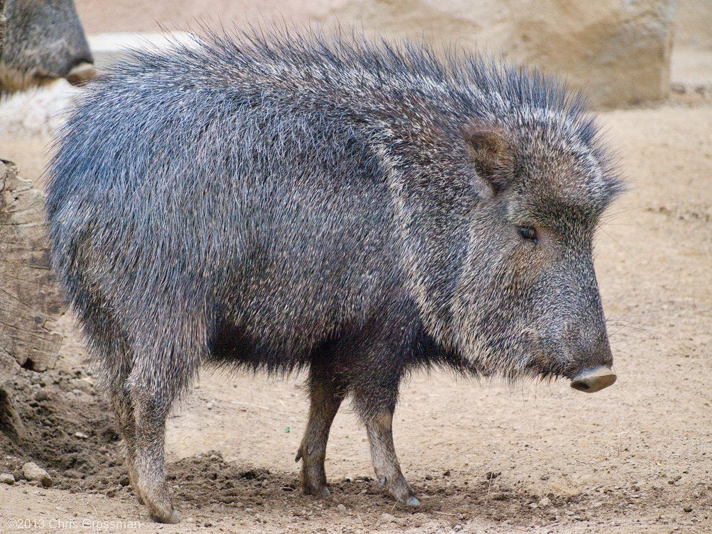 The Collared Peccary, also sometimes called the Javelina, is