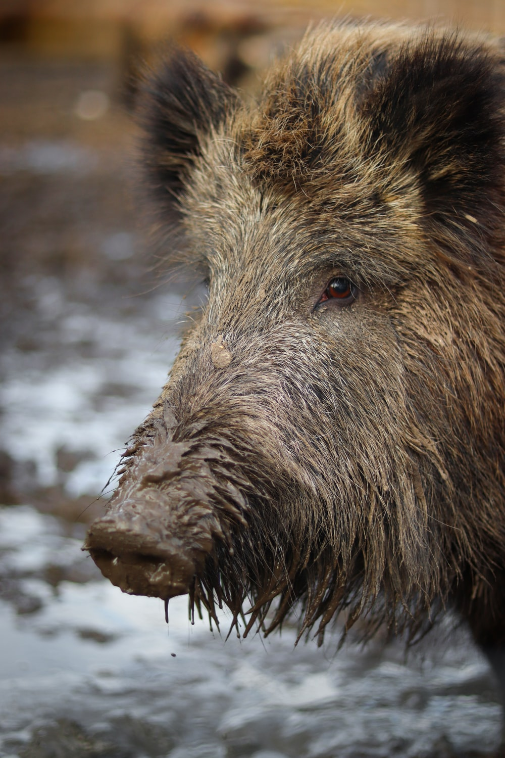 Hog Pictures