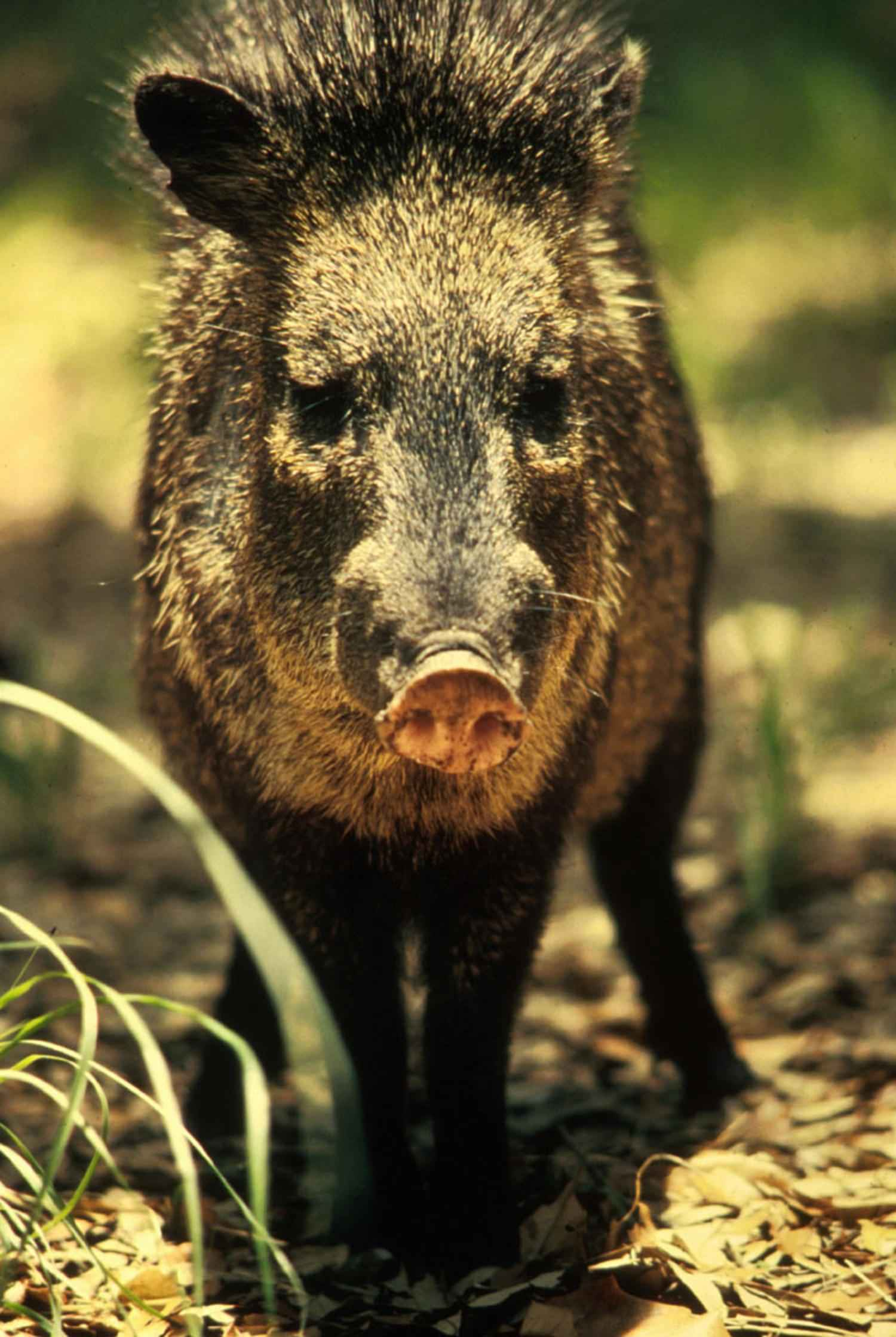 Free picture: peccary, javelina, wild, boar, skunk, pig