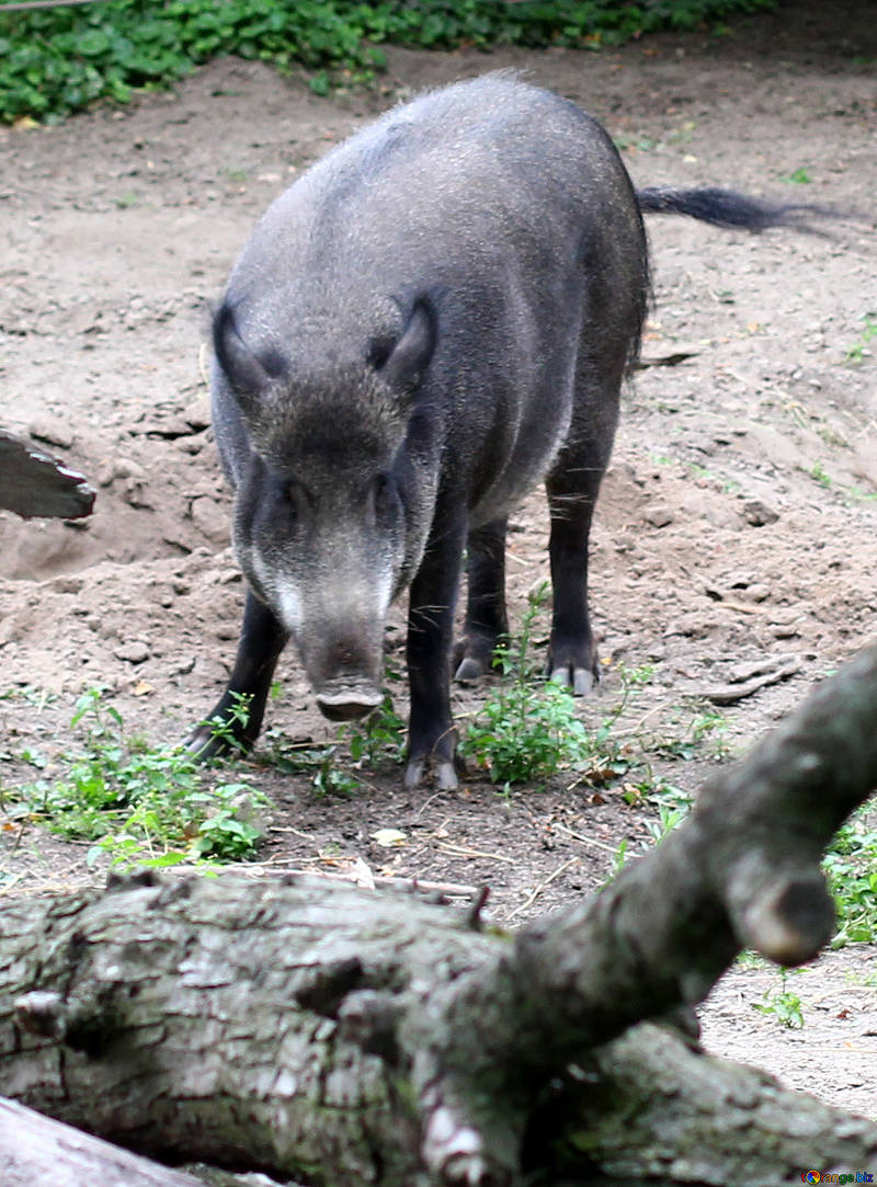 2019 year of the pig peccary winter № 46045