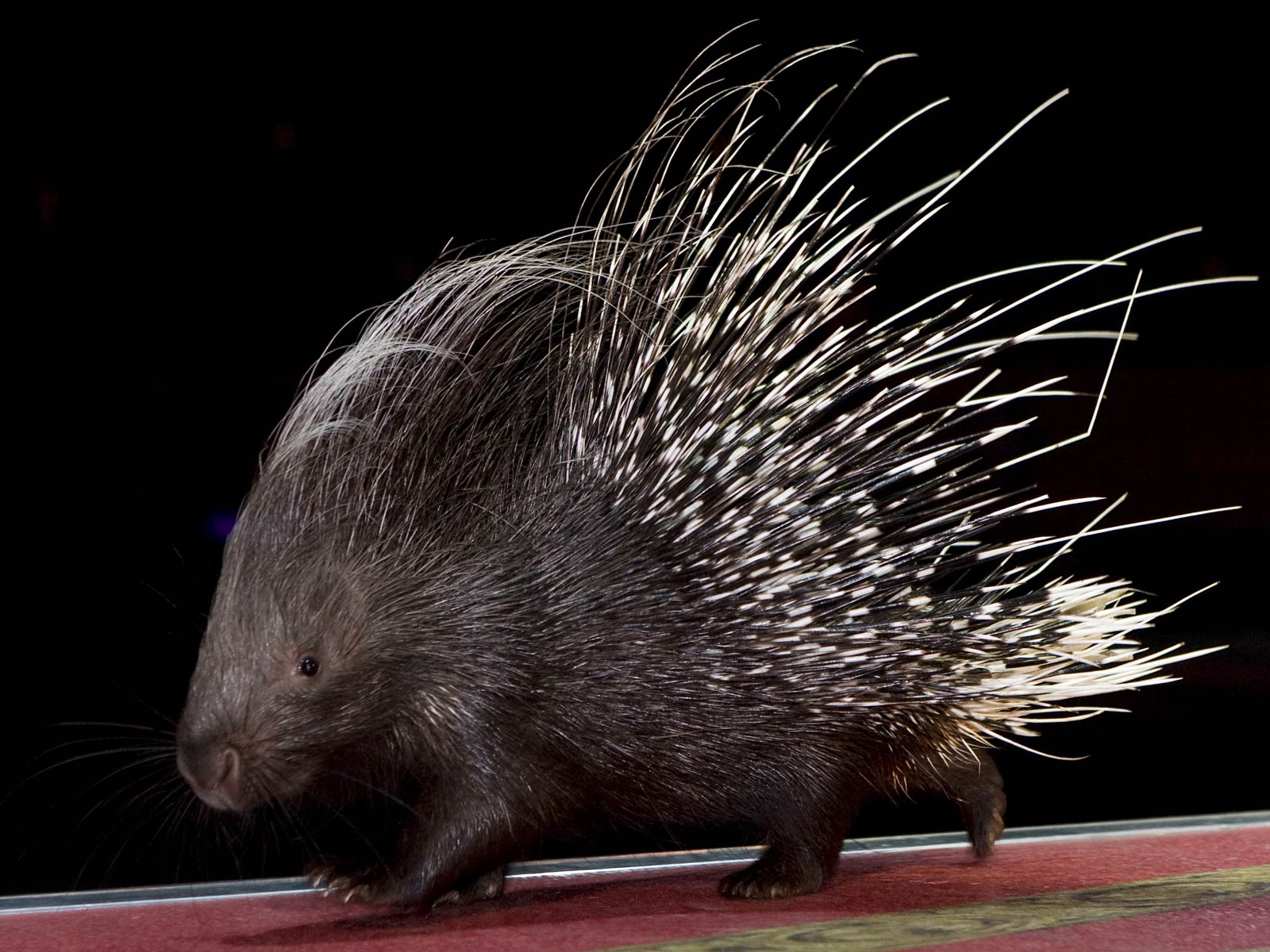 Free Porcupine Wallpapers
