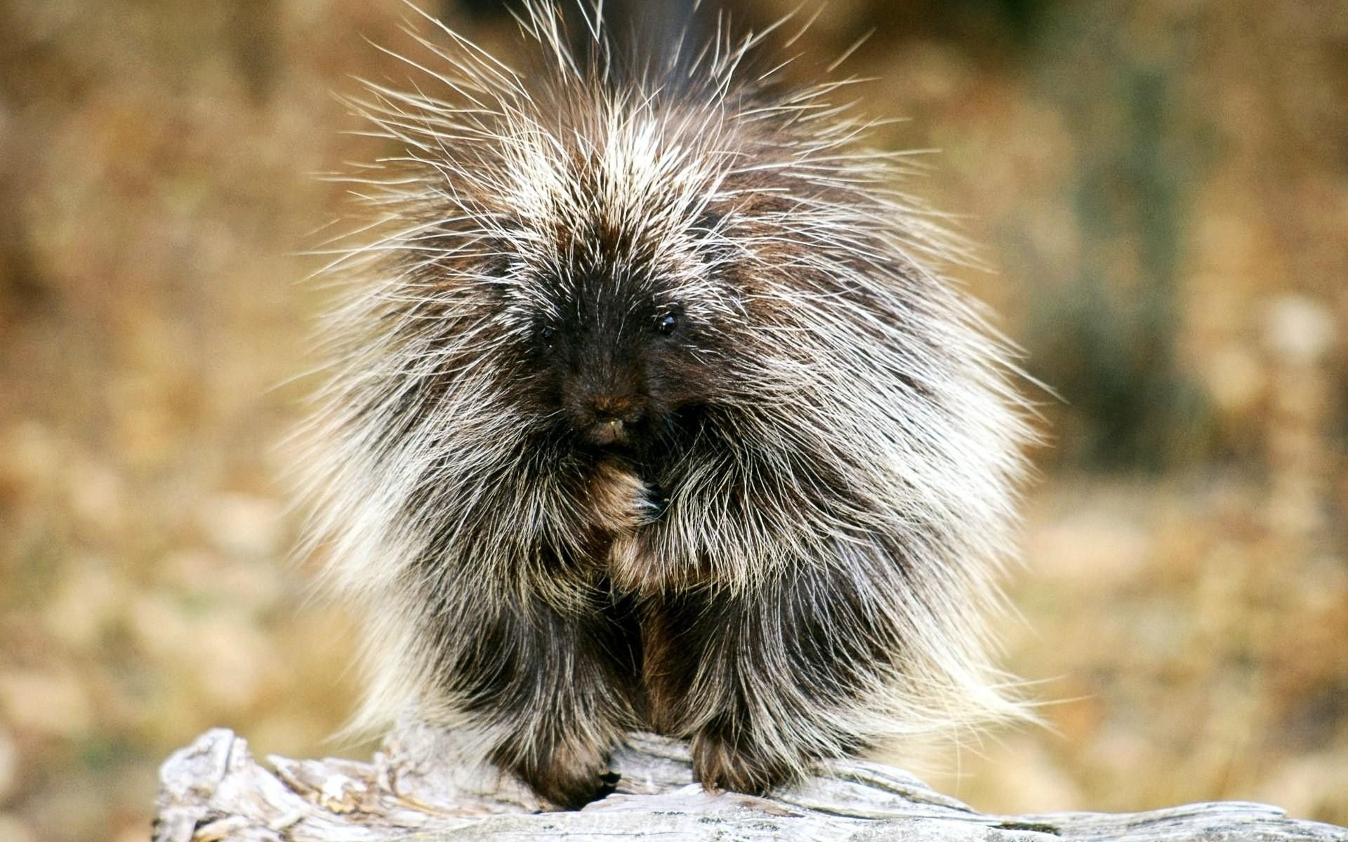 6 Porcupine HD Wallpapers