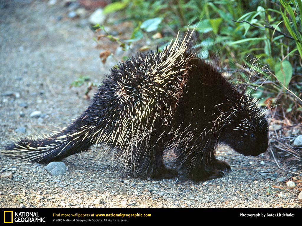 Free Porcupine Wallpapers download