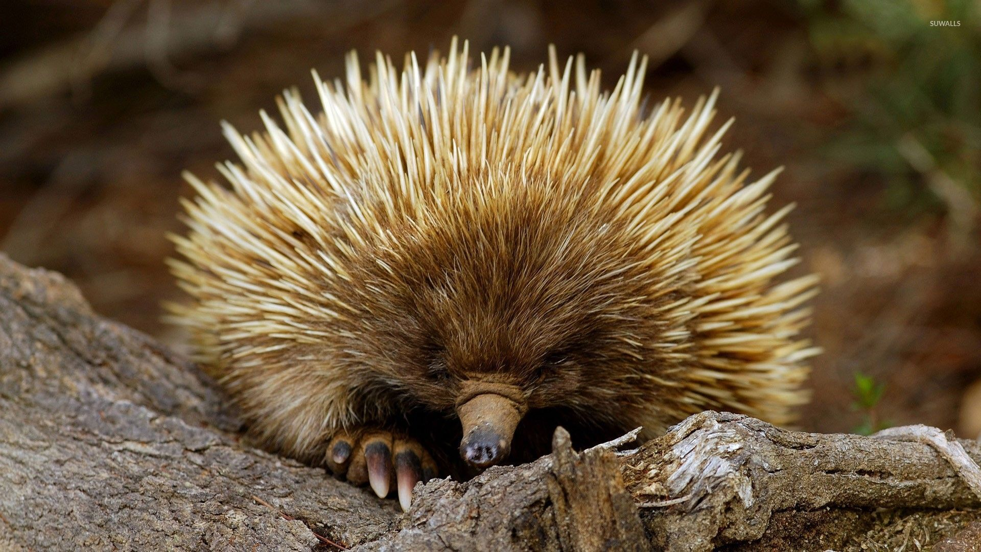 Porcupine [2] wallpapers