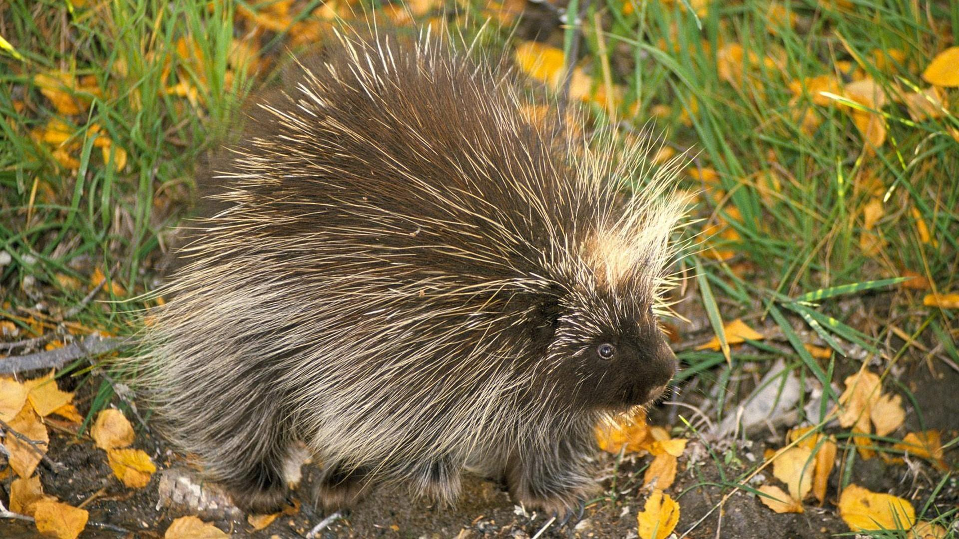 Don north american porcupine animals nature porcupines wallpapers
