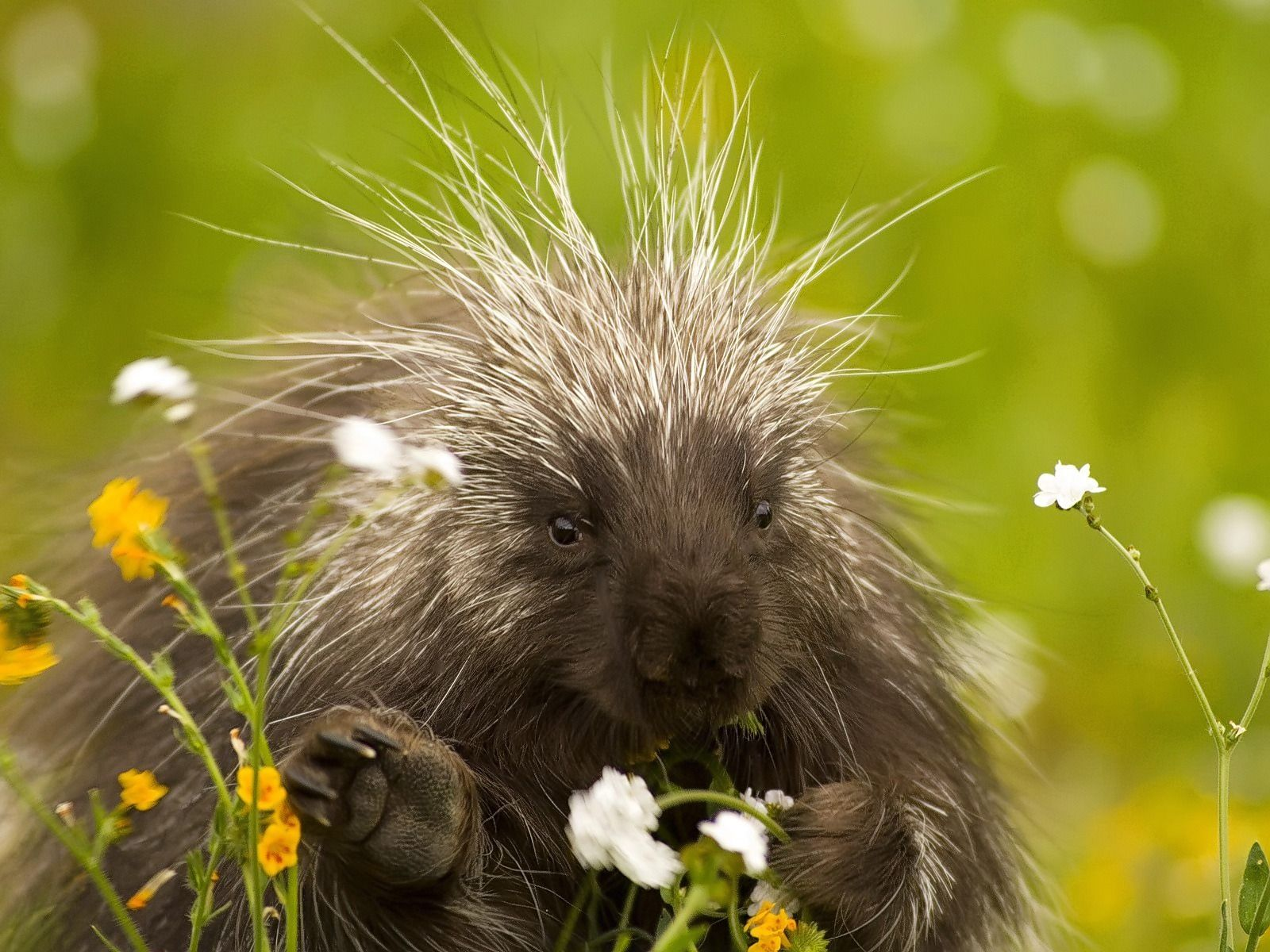 Porcupine Wallpapers Porcupines Animals Wallpapers in jpg format for
