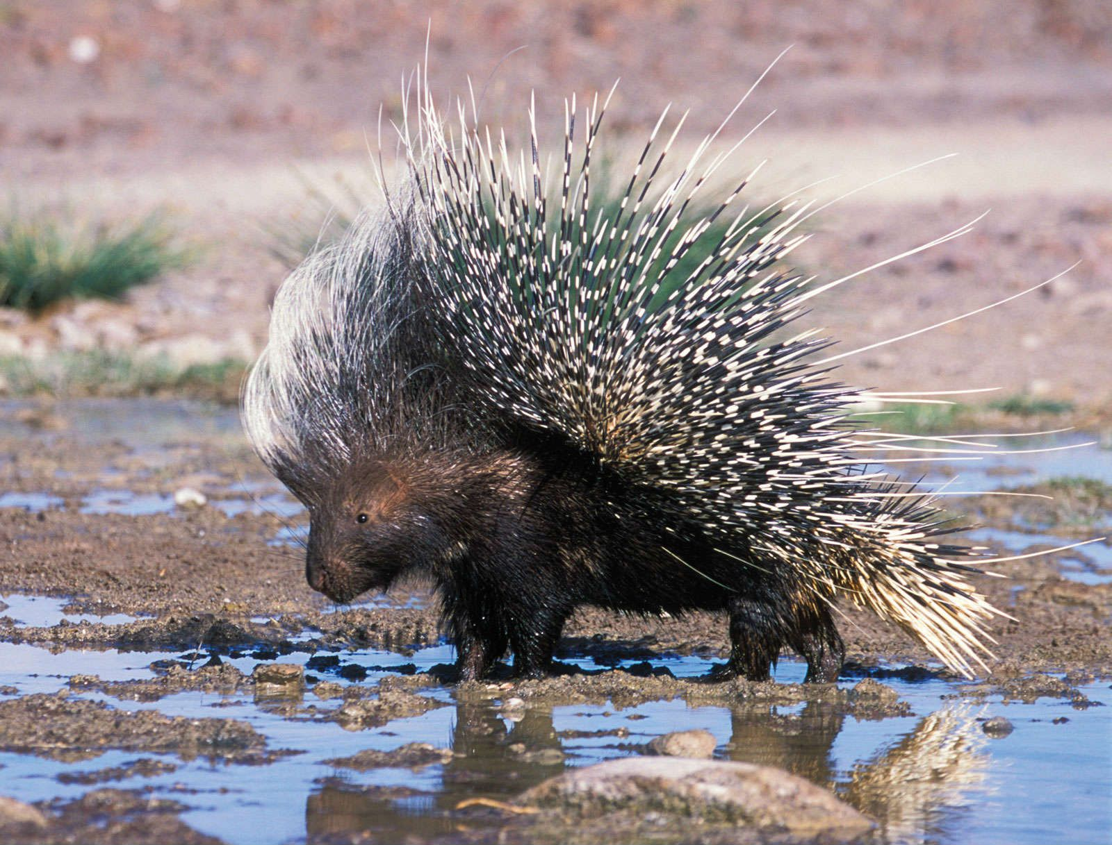 African Porcupine Wallpapers HD Photos