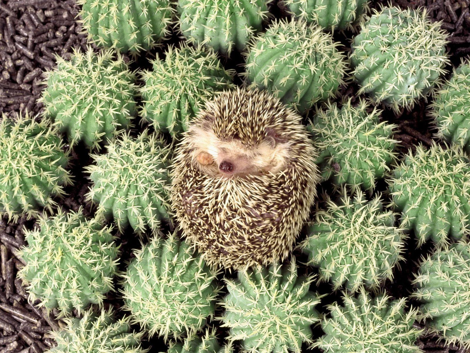 Porcupine on green cacti HD wallpapers
