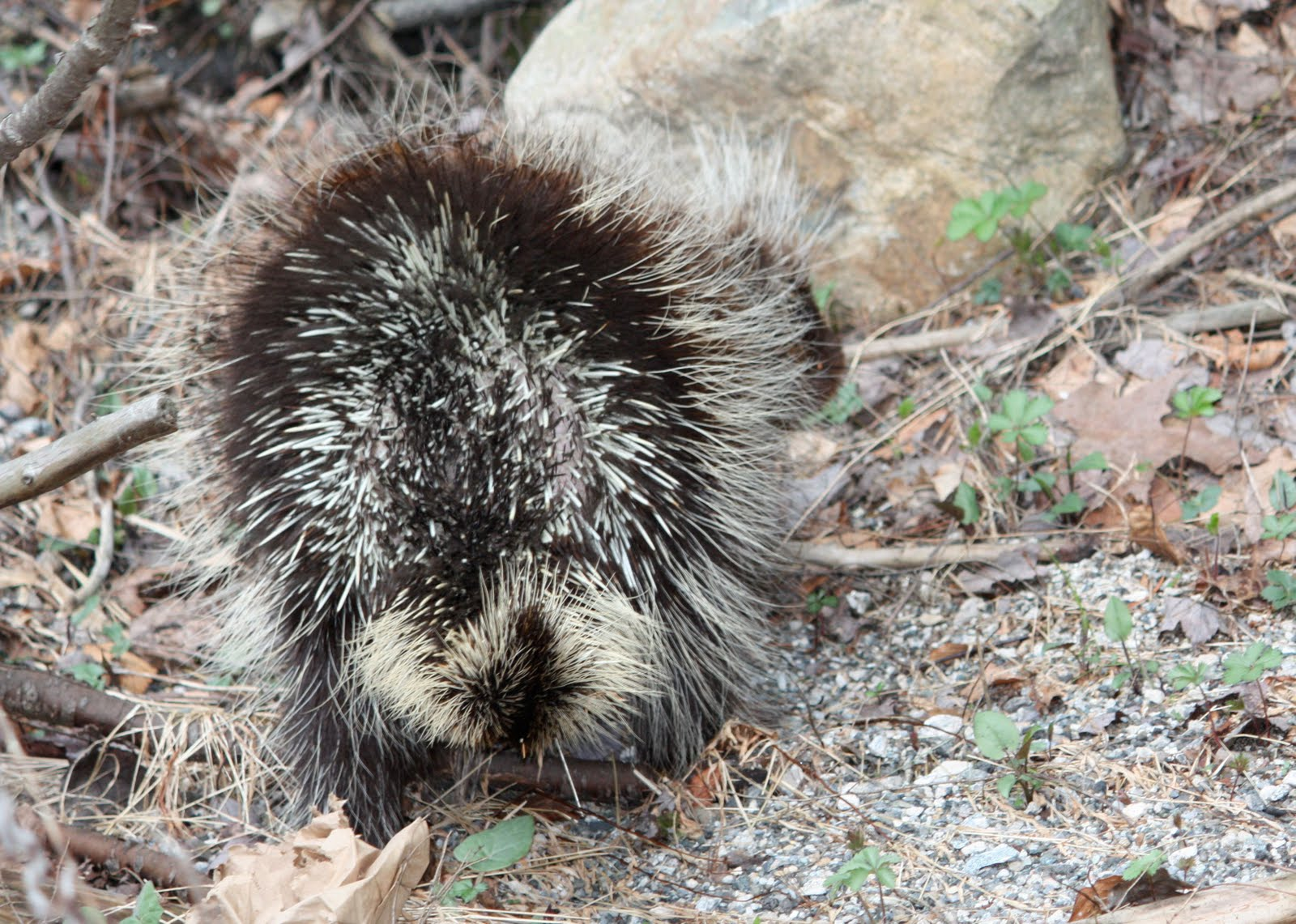 Wallpapers Collections: porcupine