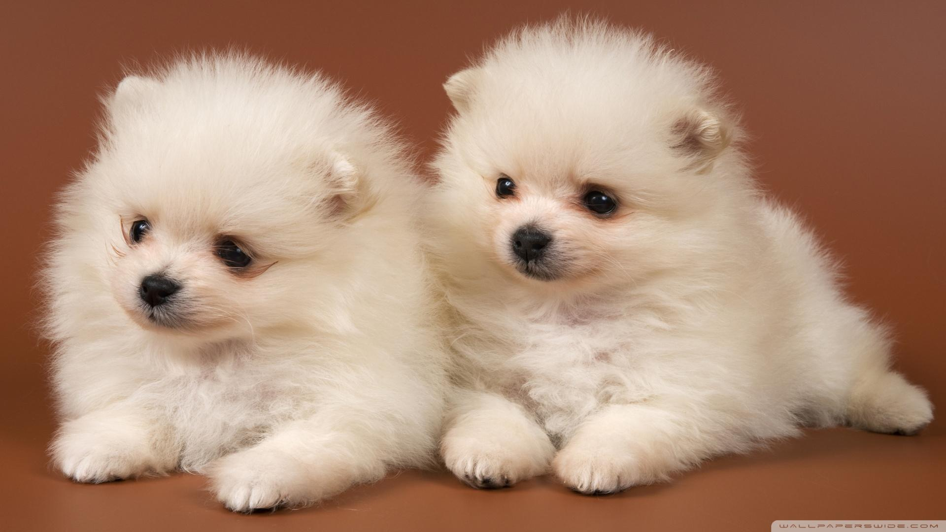 Pomeranian Puppies HD desktop wallpapers : High Definition : Mobile