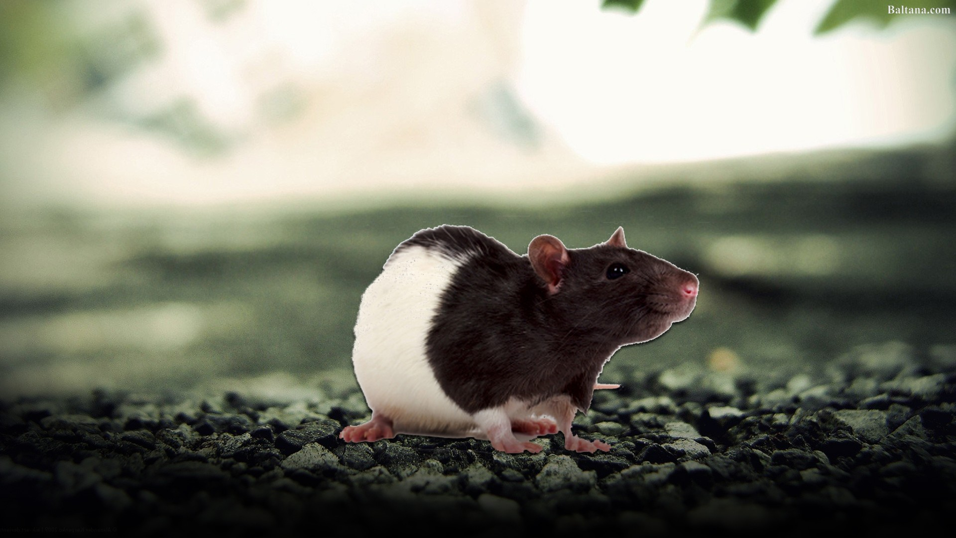 Rat Wallpapers HD Backgrounds, Image, Pics, Photos Free Download