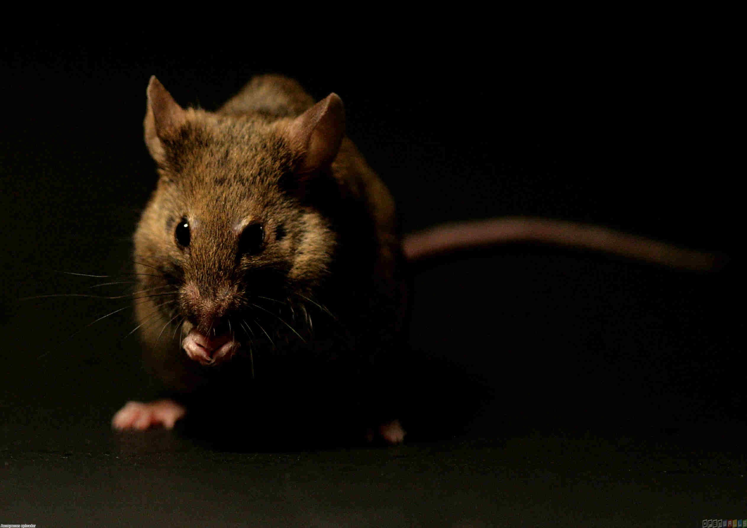 Rat Wallpapers Image Group