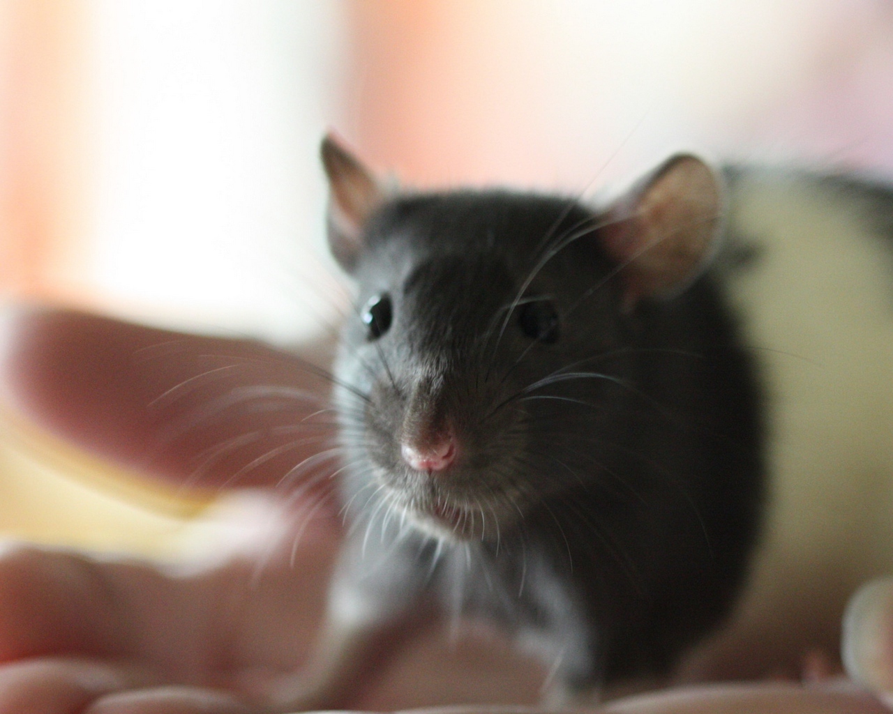 Download wallpapers 1280x1024 mouse, rat, face, rodent standard 5:4