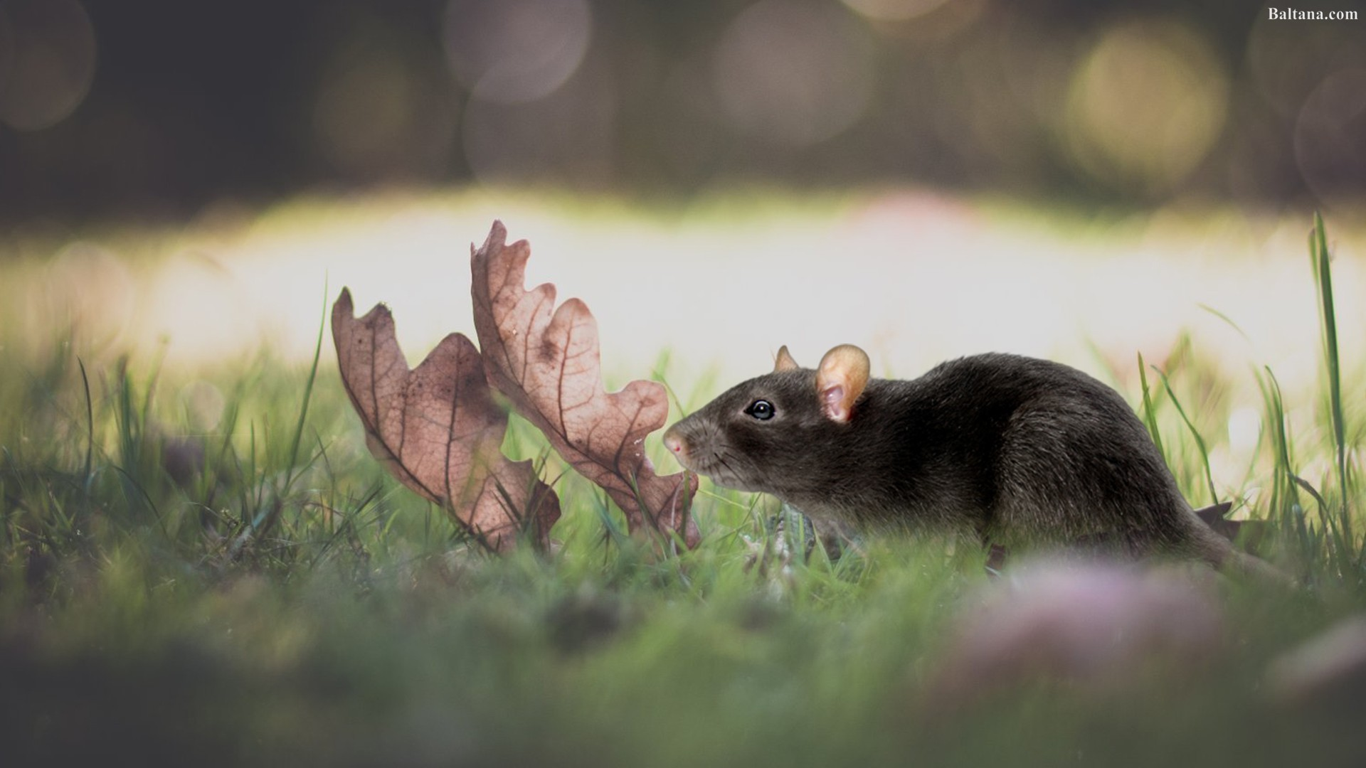 Rat Mouse HD Wallpapers 31780