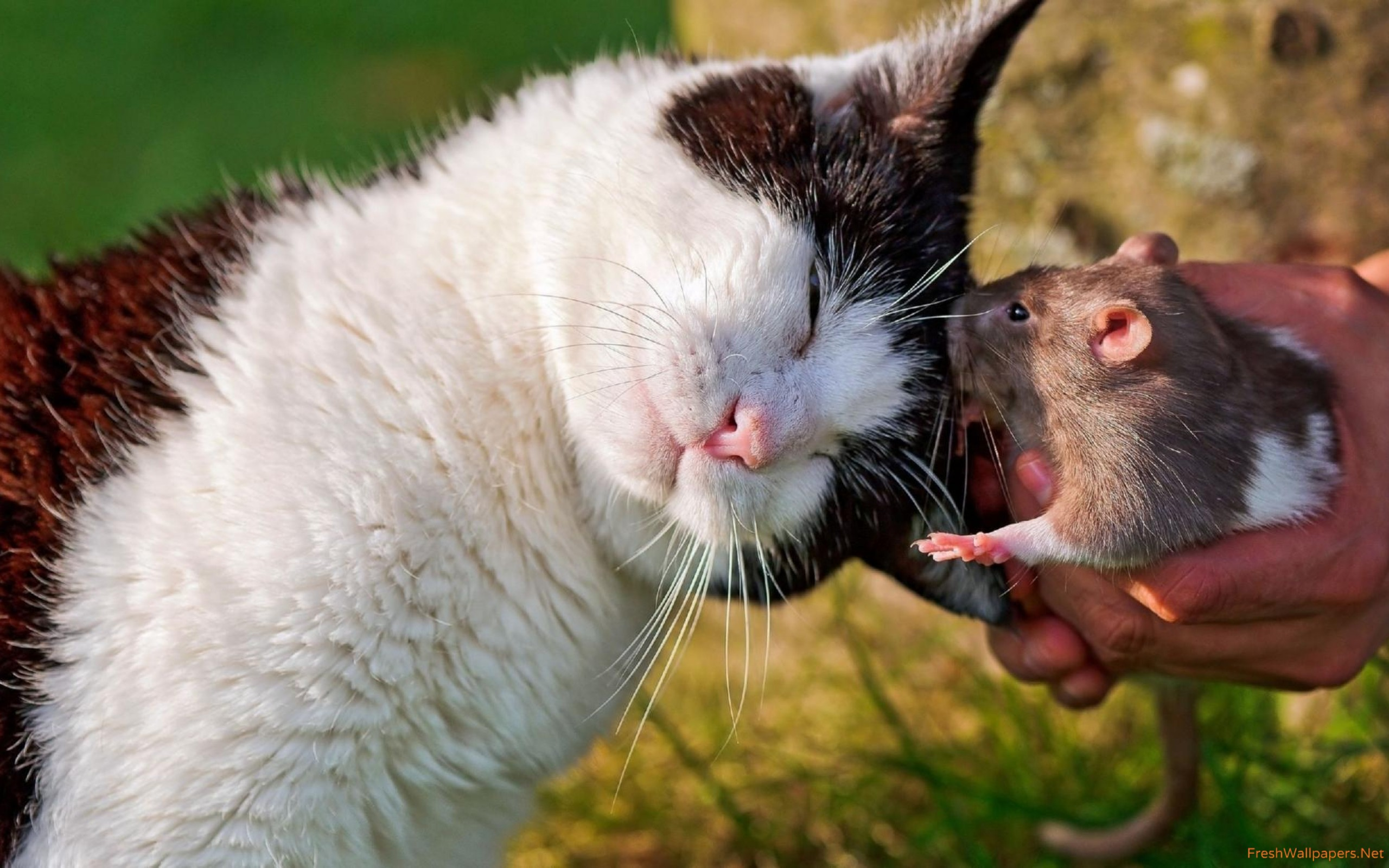 Cat cuddling with a rat wallpapers