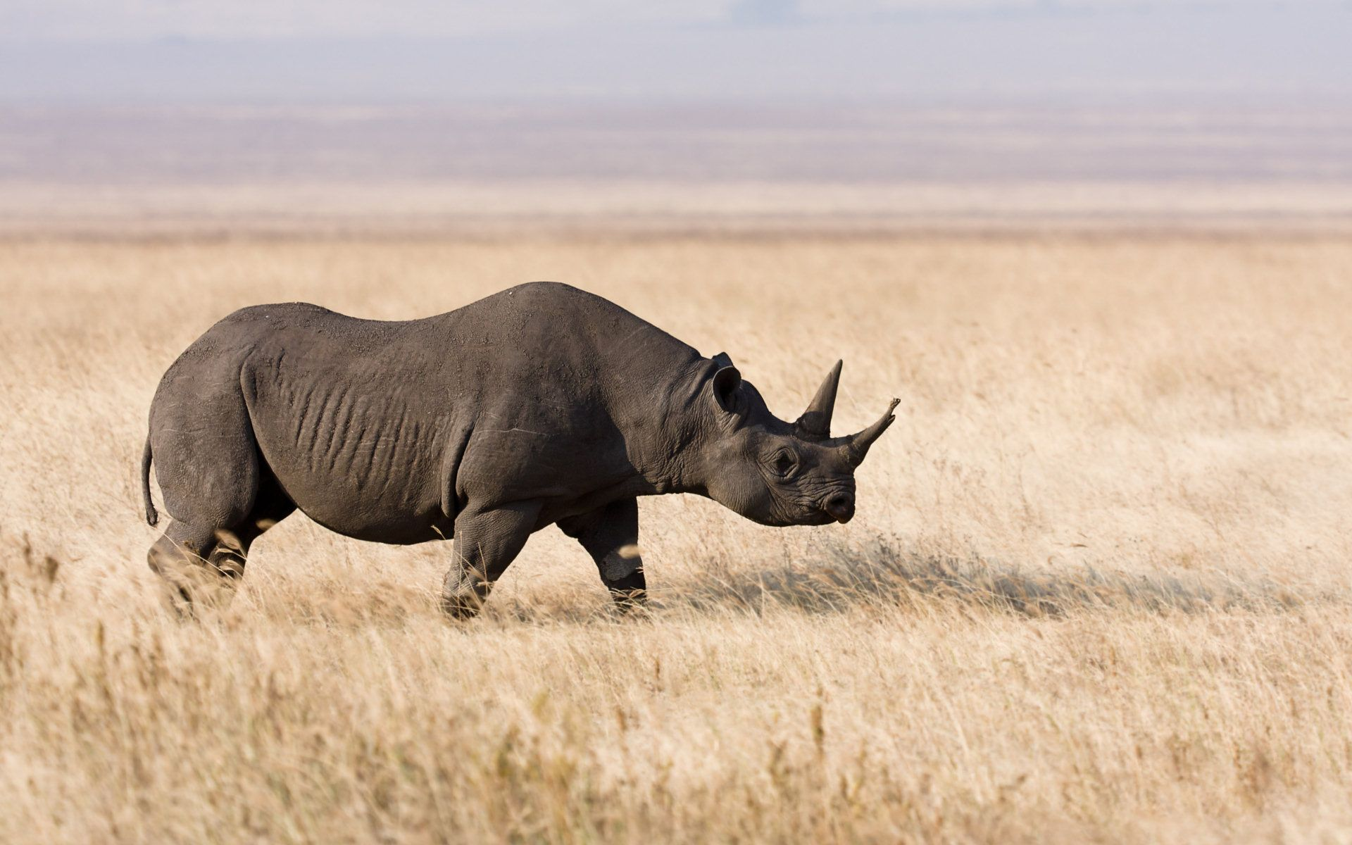 Rhino Wallpapers, Pictures, Image