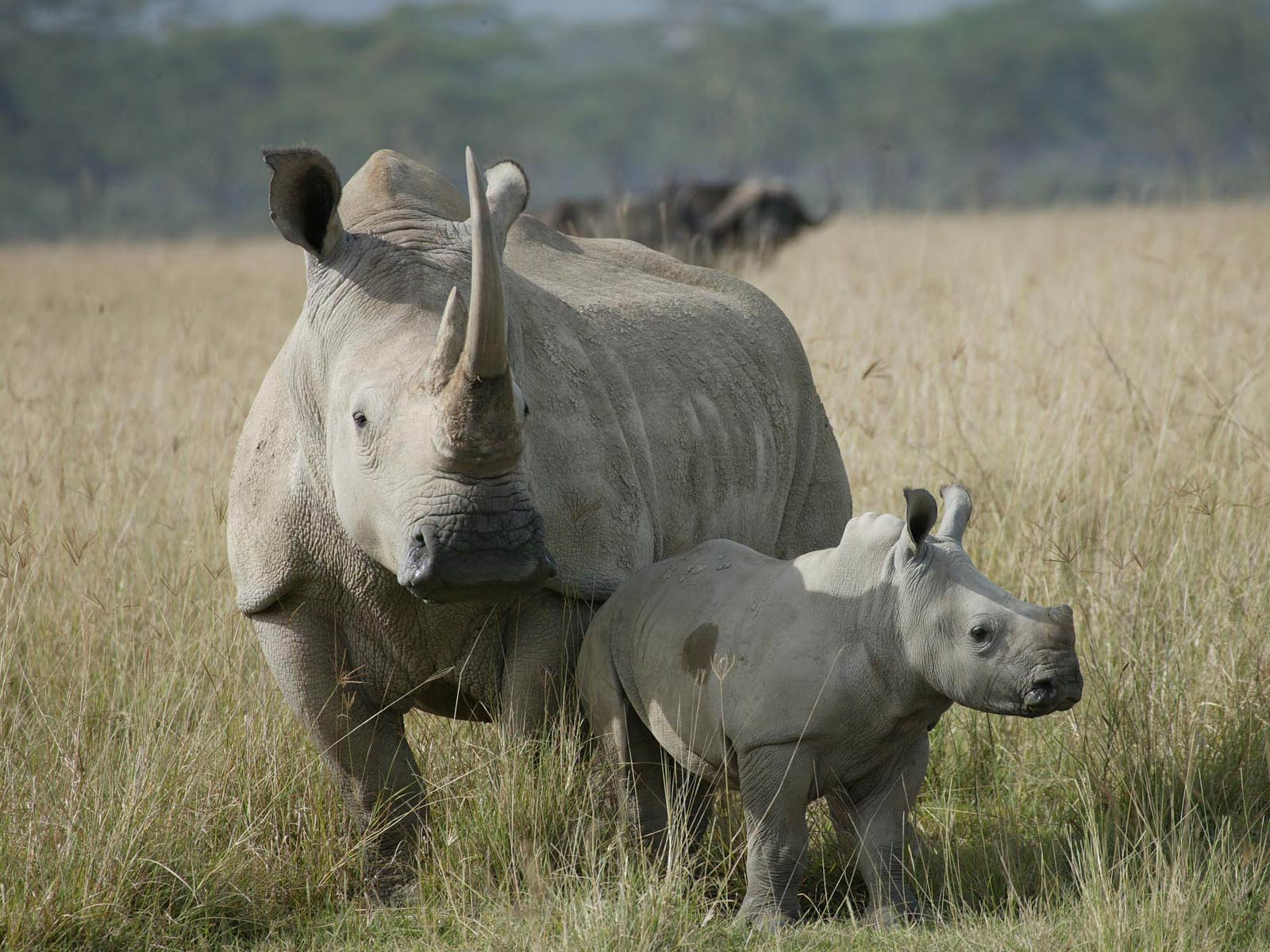 Rhinoceros Wallpapers Archives