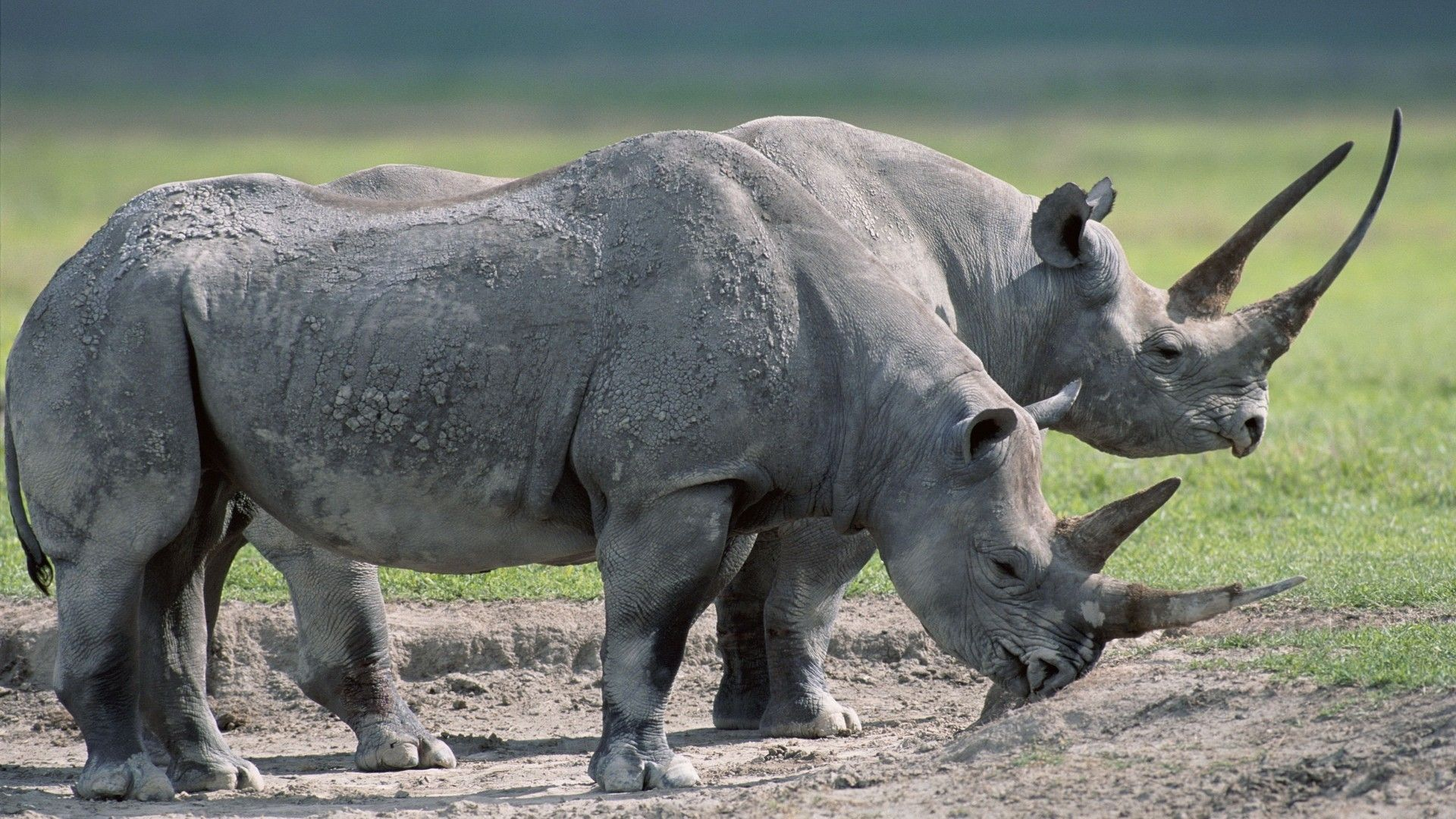 Download Wallpapers 1920x1080 Rhinos, Steam, Large, grass, Food