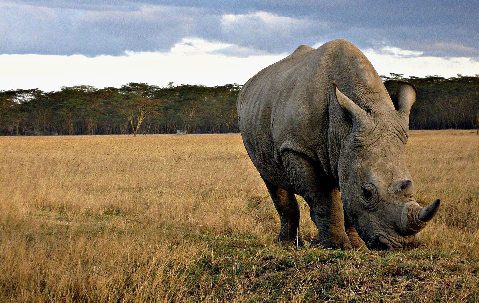 Rhinoceros Animals Photos Free Stock HQ Wallpapers Download