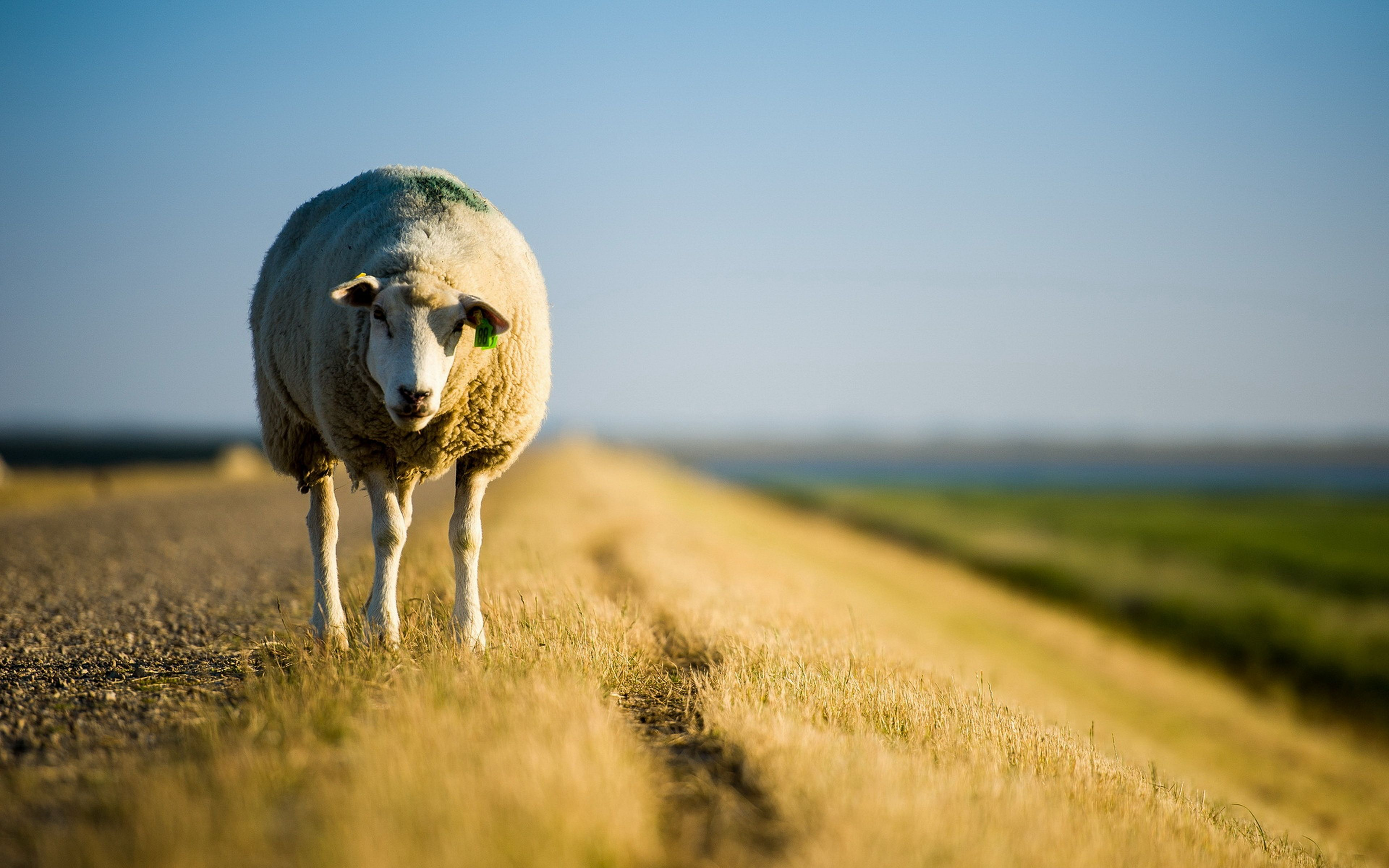 Sheep Wallpapers, Image, Photos, Pictures & Pics