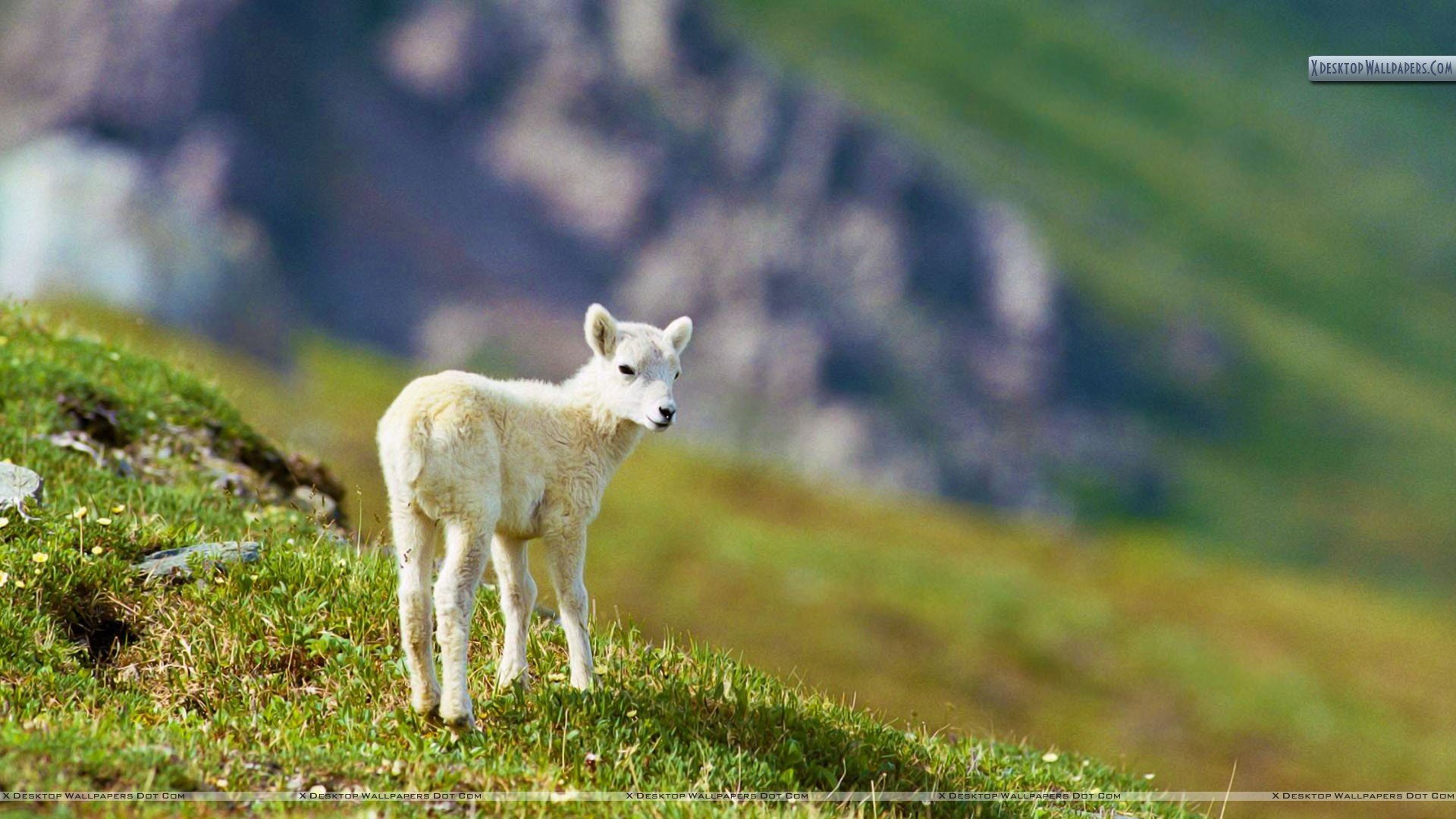 Sheep image Sheep HD wallpapers and backgrounds photos