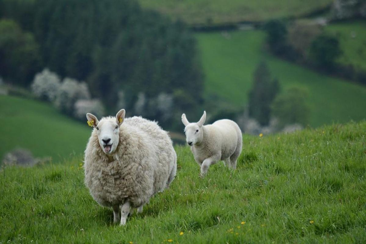 Sheep Wallpapers for Android