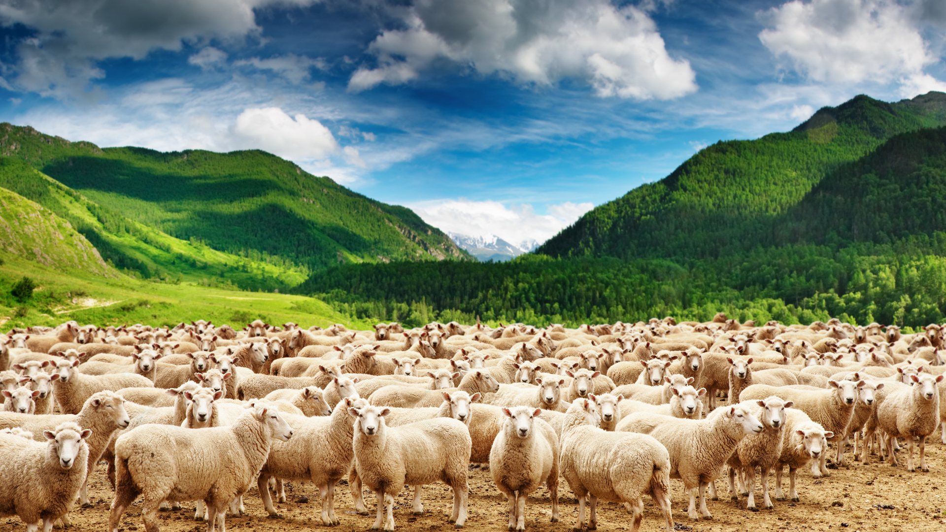 Sheep wallpapers Gallery