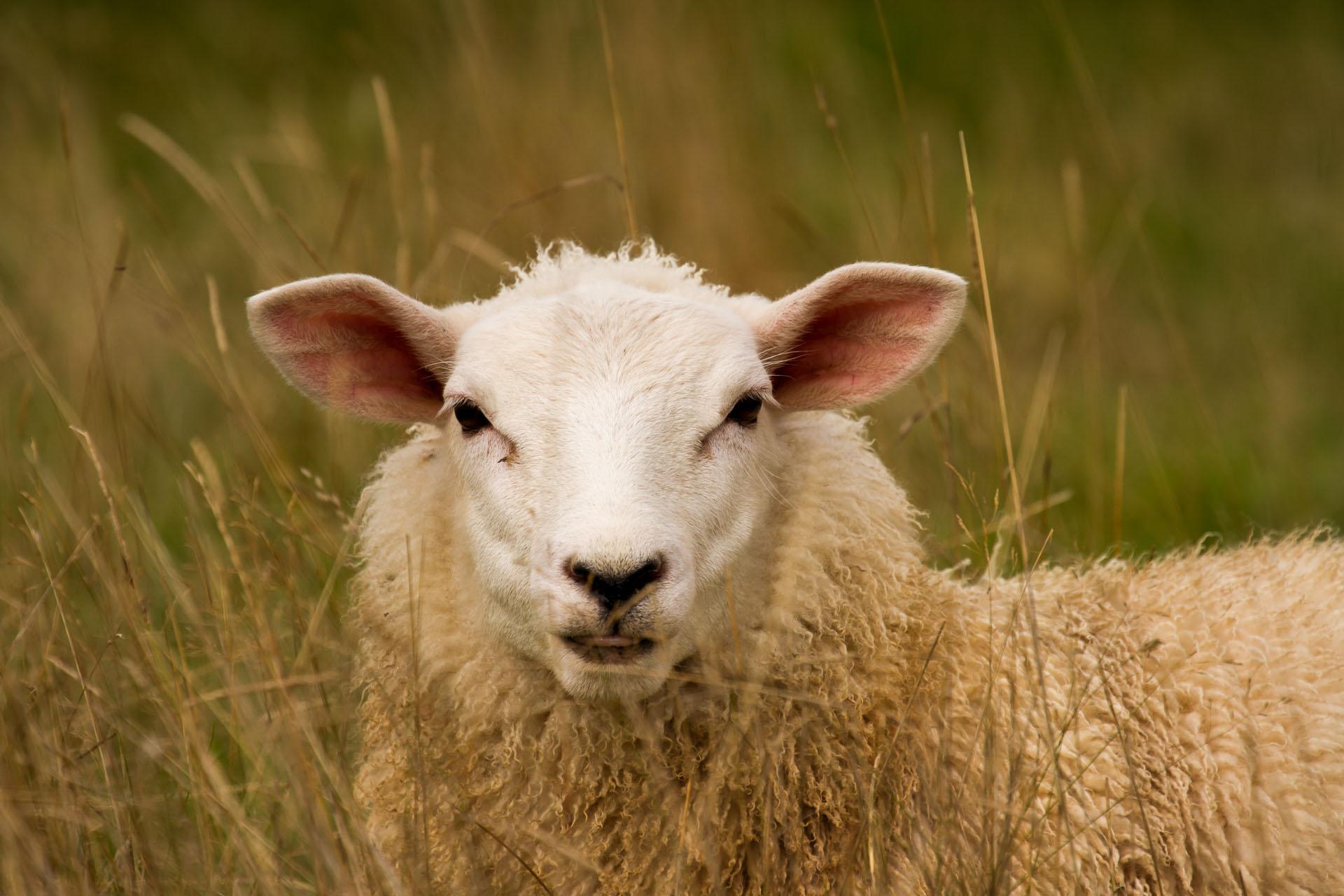 20+ Sheep Image New HD Pictures Collections Downloads