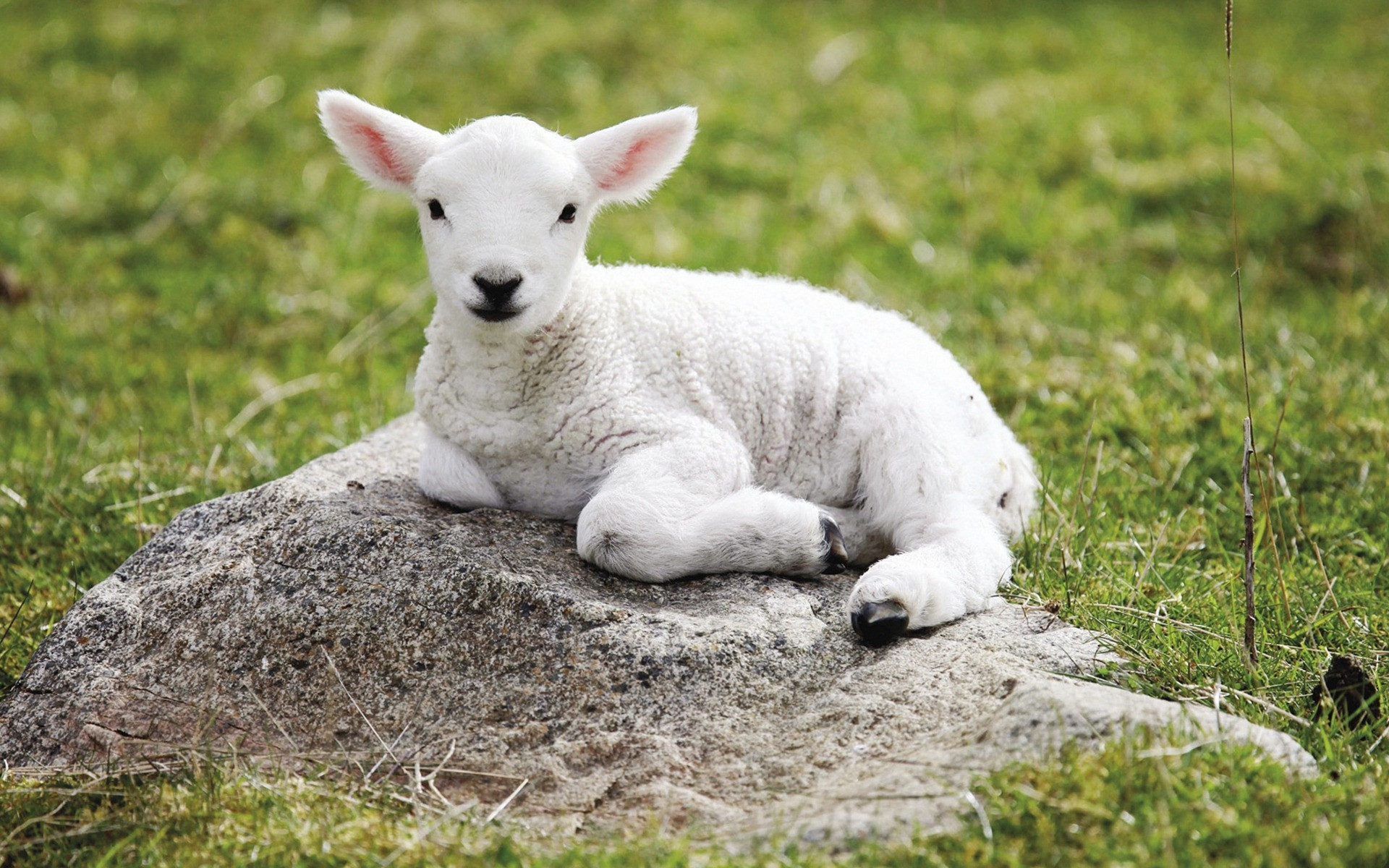 Sheep Wallpapers for Walls New Sheep Wallpapers S Backgrounds