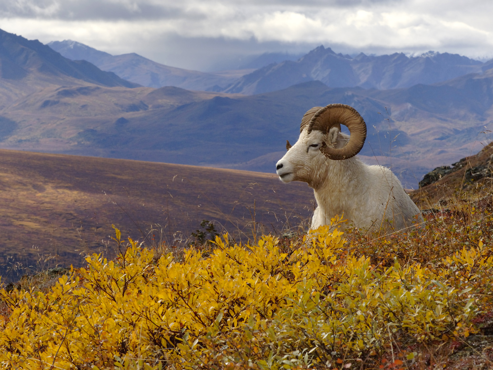 Best 46+ Dall Sheep Wallpapers on HipWallpapers