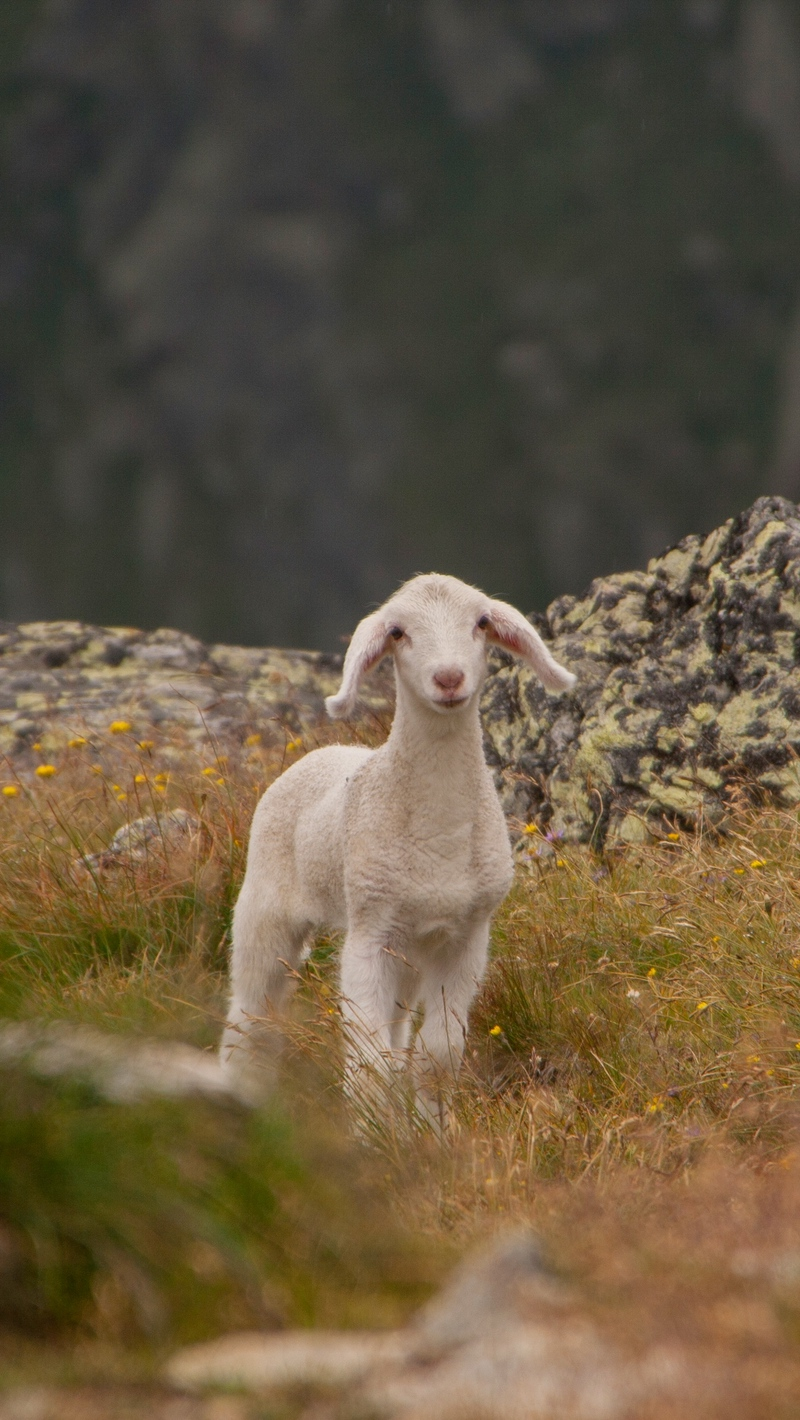 Download wallpapers 800x1420 lamb, sheep, cub, mountains iphone se/5s