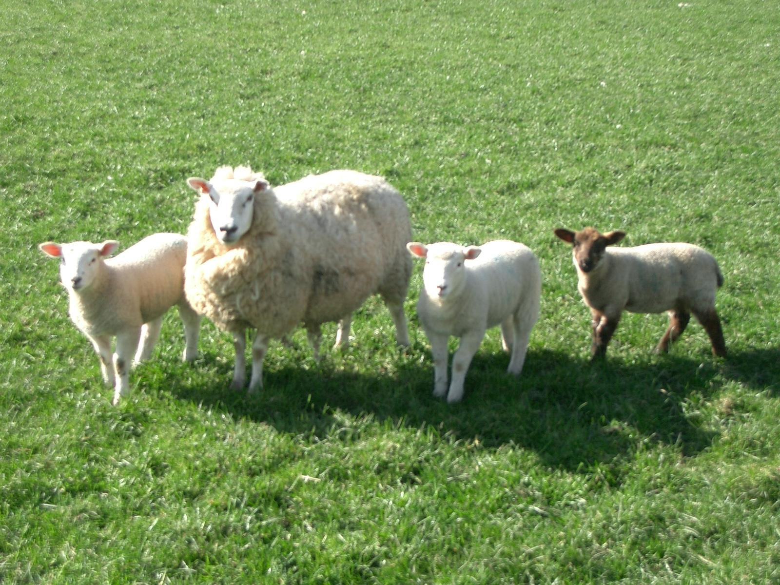 Sheep Wallpapers. Image and animals Sheep pictures
