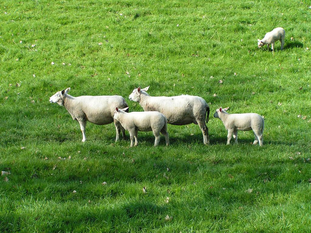 Free Sheep Wallpapers download