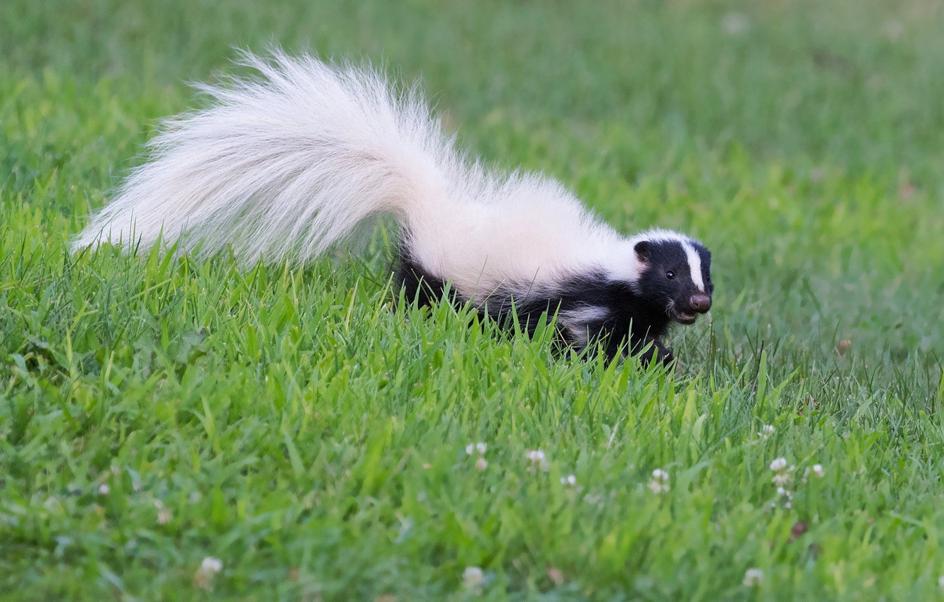 Wallpapers grass, look, nature, pose, glade, meadow, tail