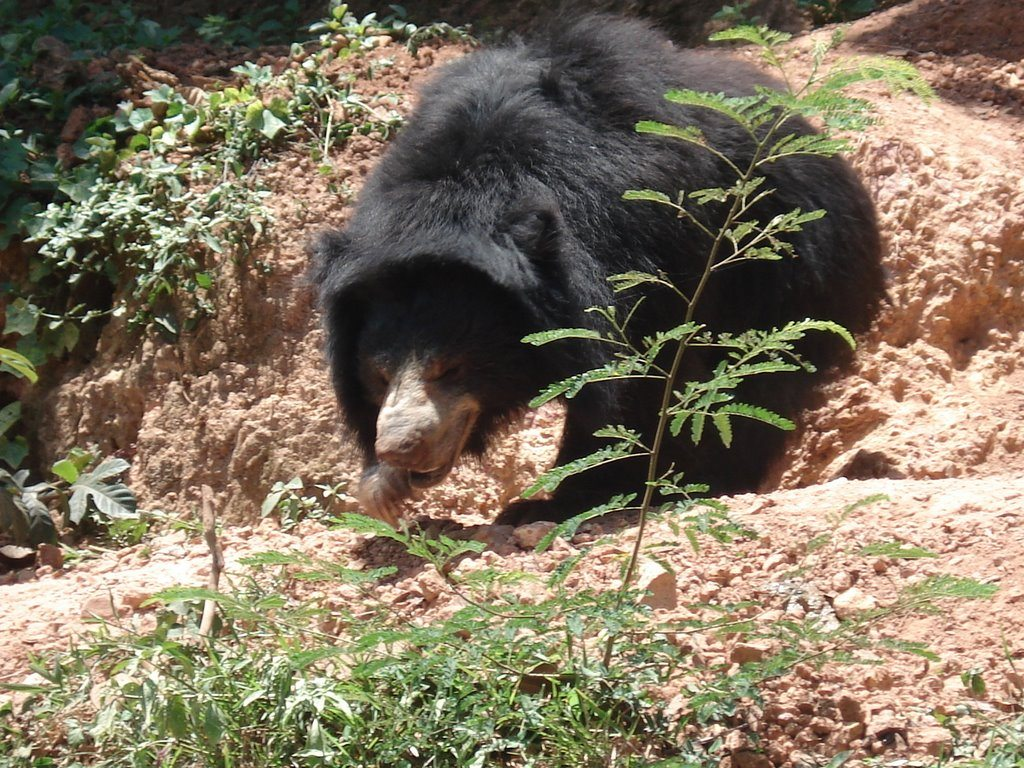 Free Sloth Bear Wallpapers download